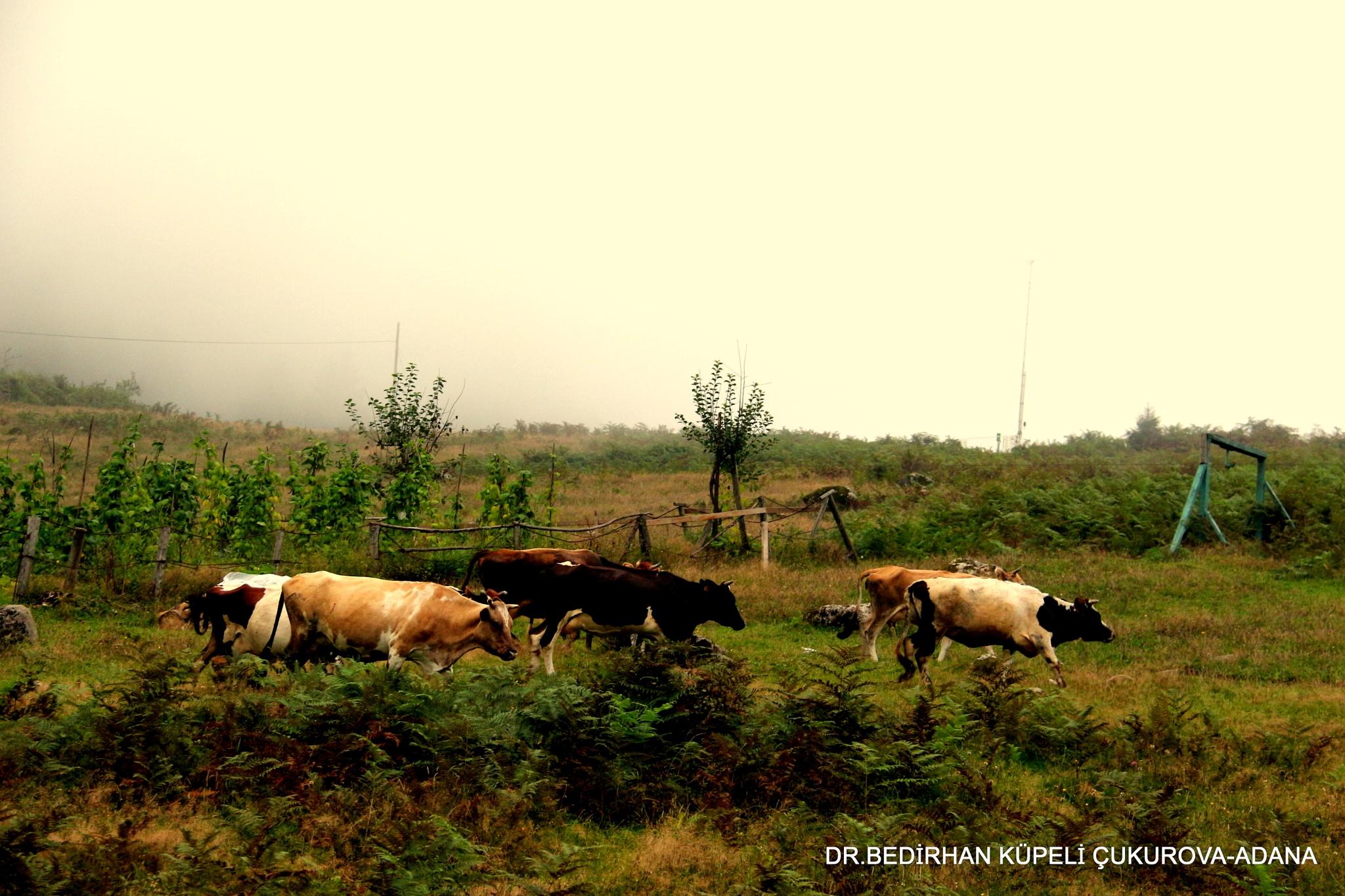 oxen and cows wander the grassland.... by Bedirhan Küpeli