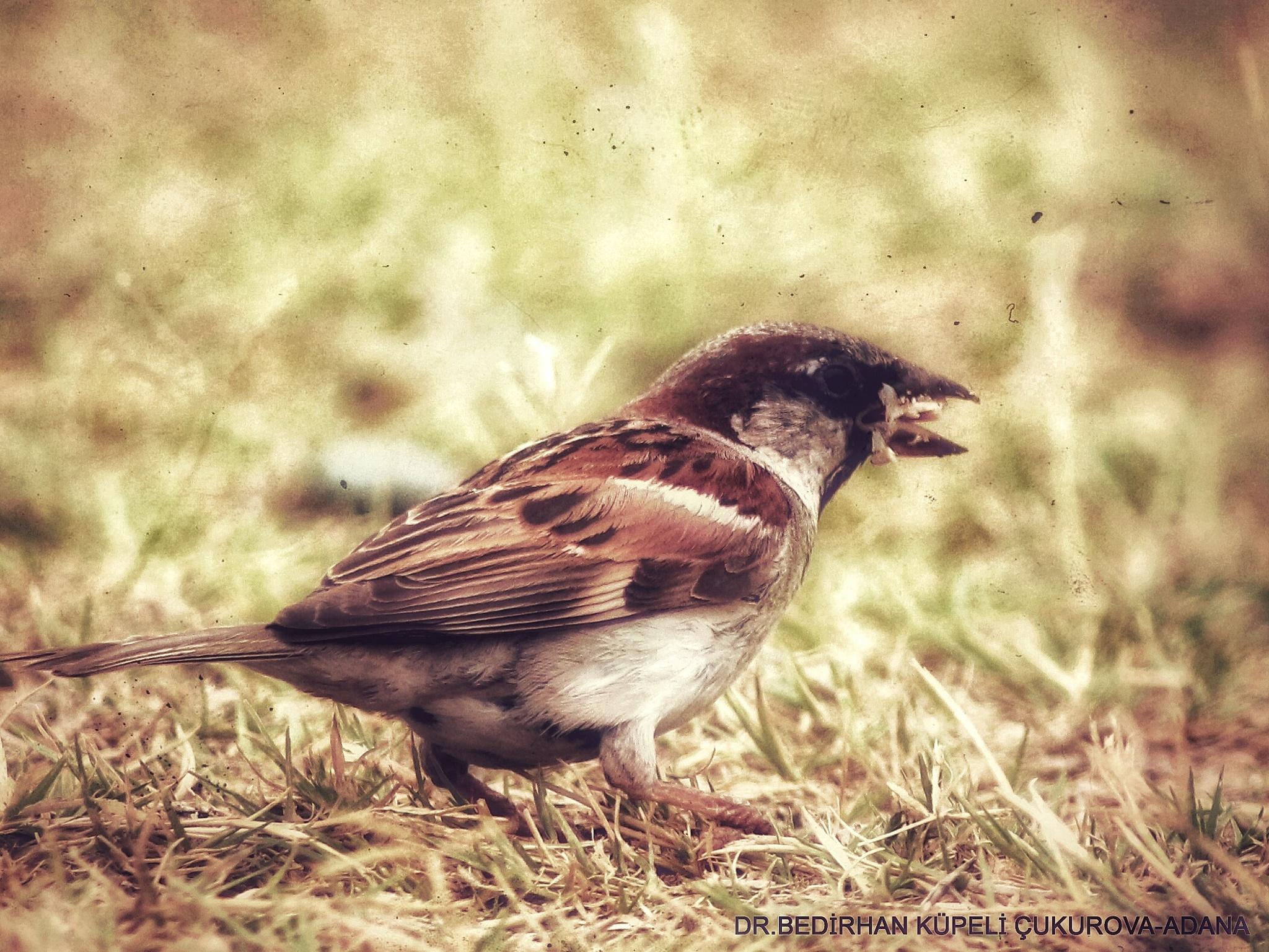 Sparrow.... by Bedirhan Küpeli