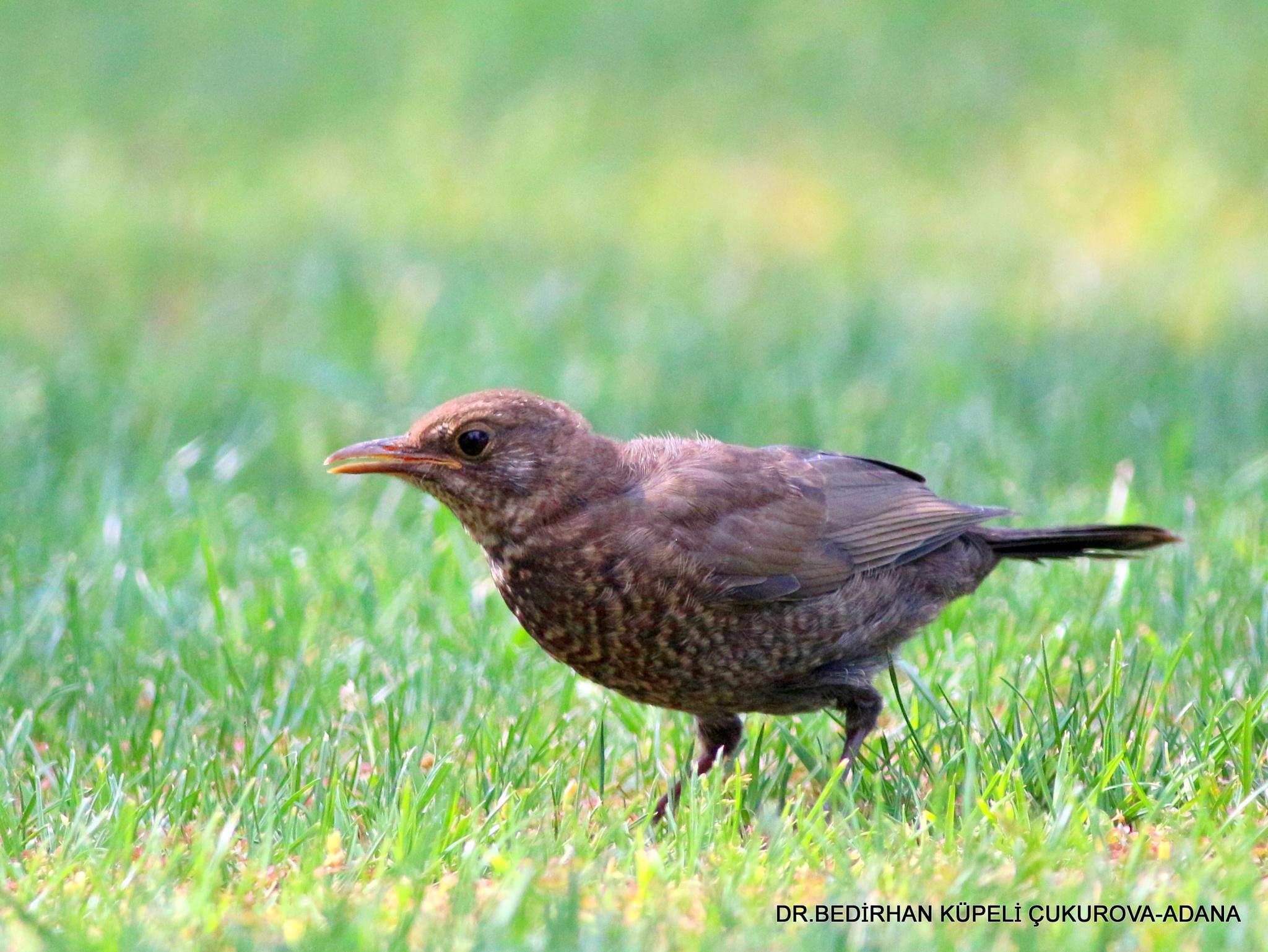 Common Blackbird-3 by Bedirhan Küpeli