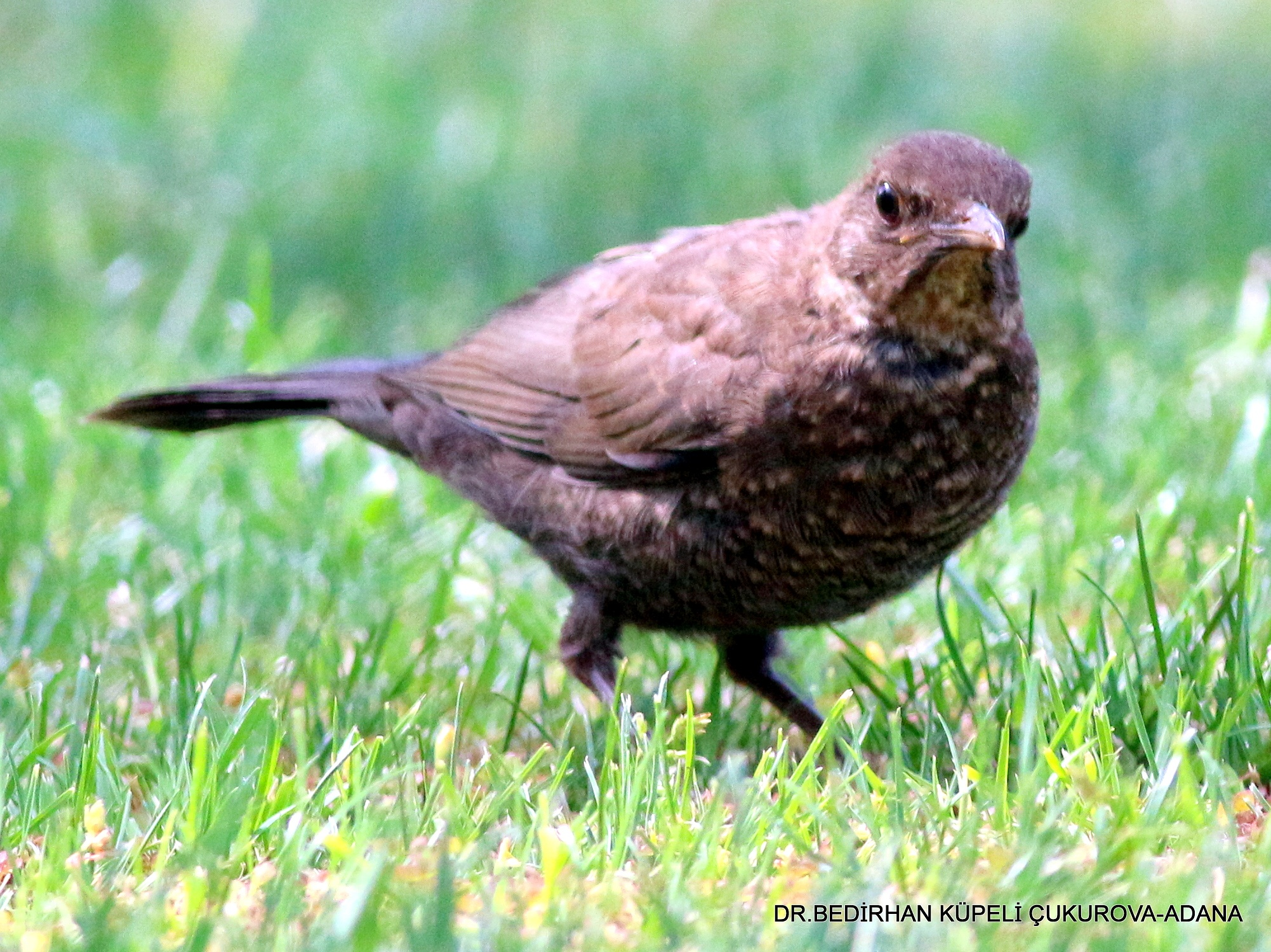 Common Blackbird-4 by Bedirhan Küpeli