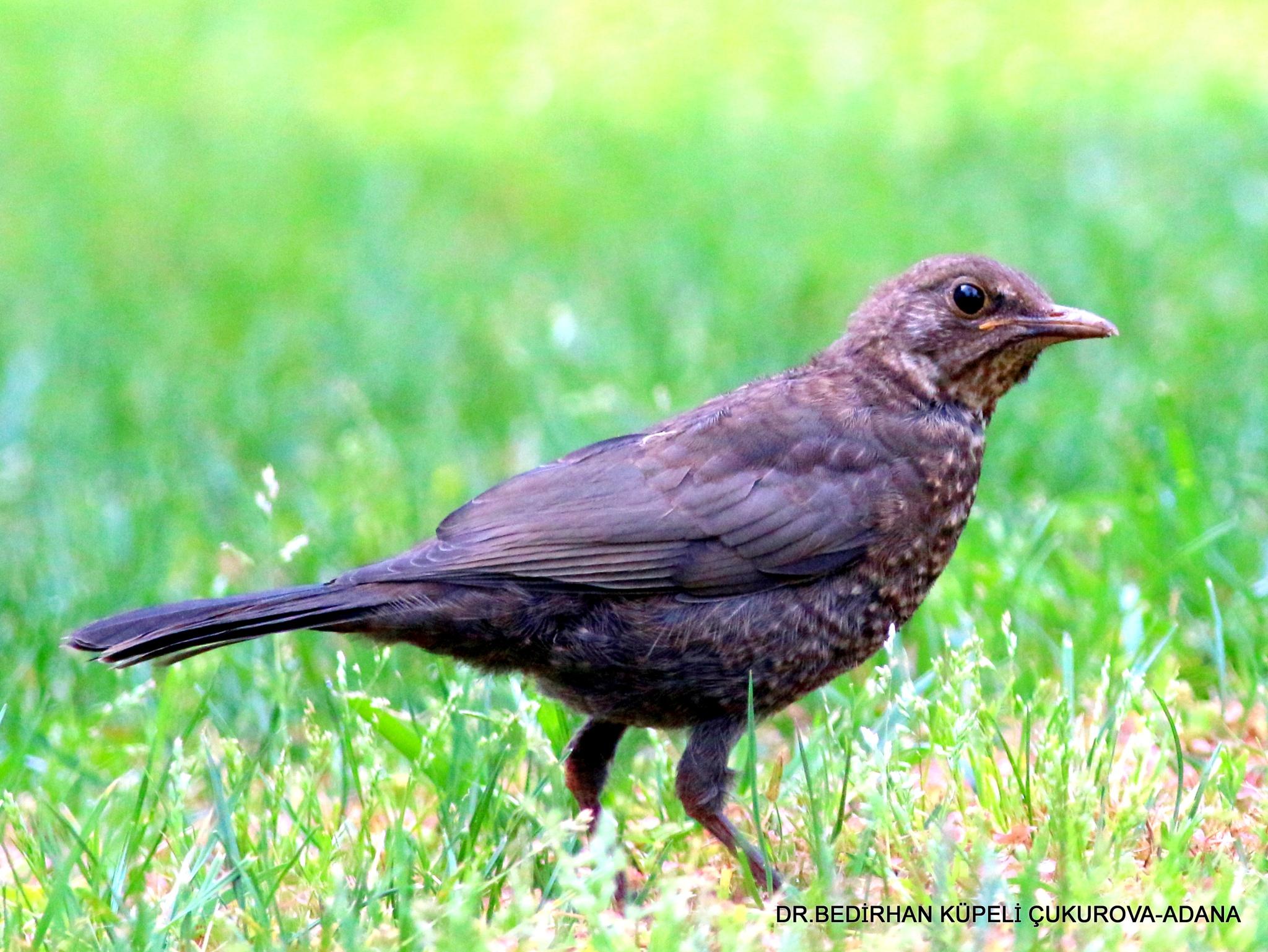 Common Blackbird-5 by Bedirhan Küpeli