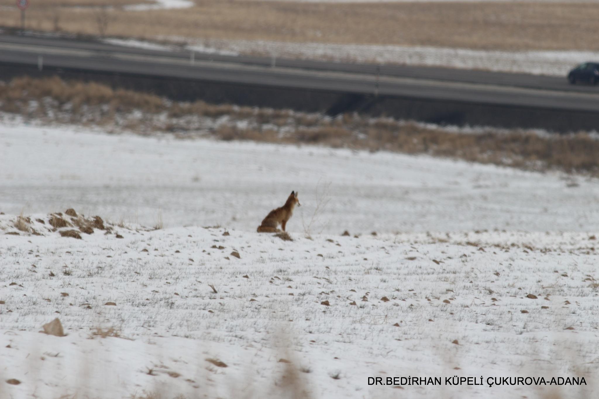 Red Fox-8 by Bedirhan Küpeli