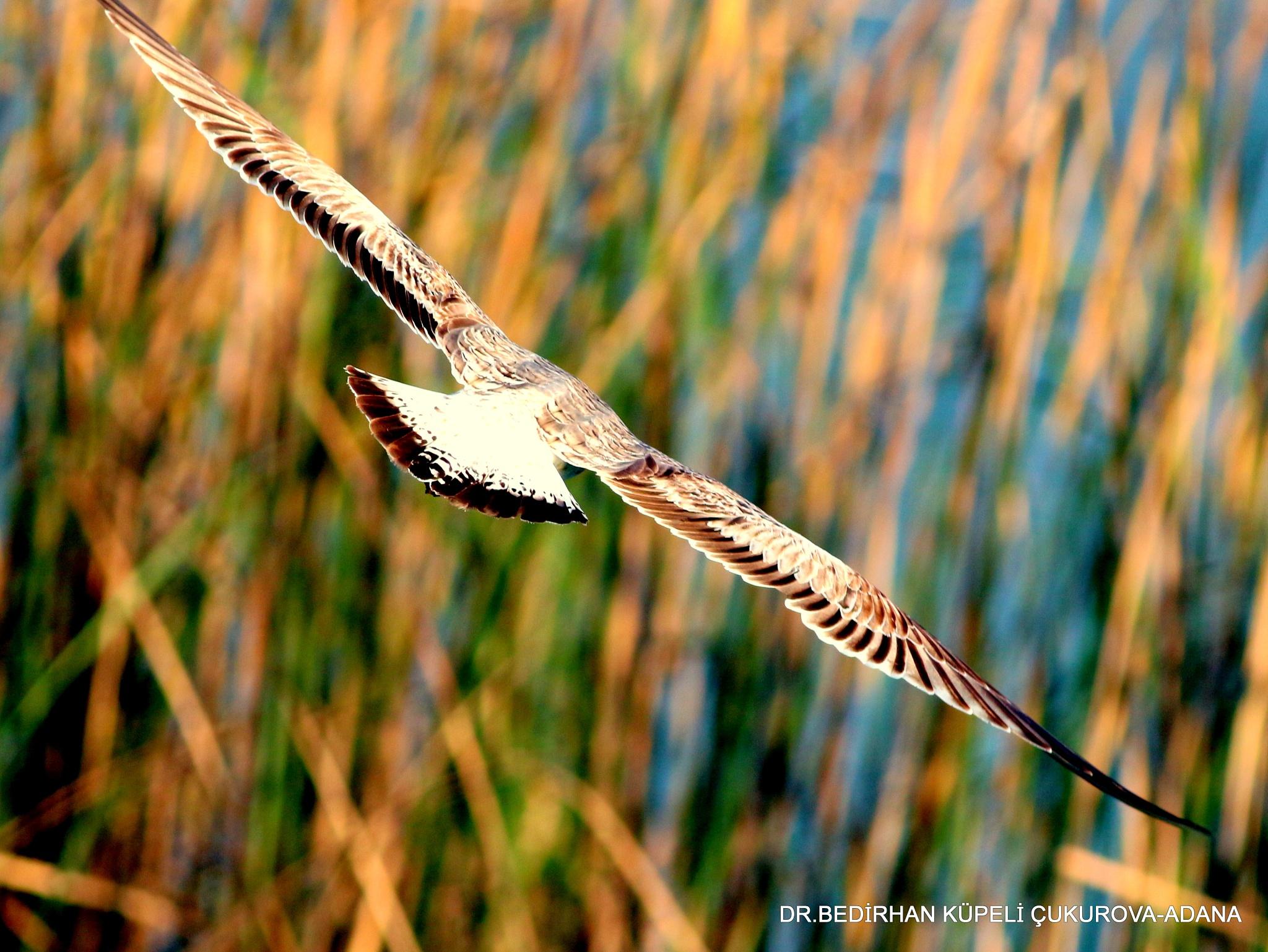 Gull flight... by Bedirhan Küpeli
