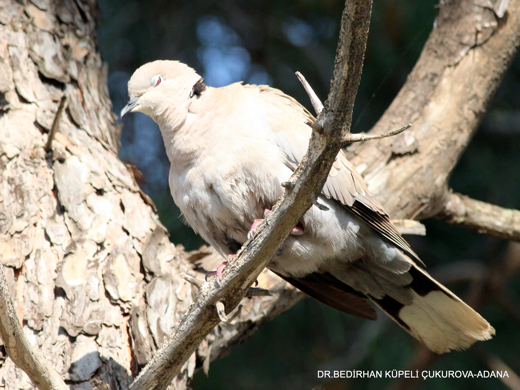 Eurasian Collared Dove is sleeping at the top of the pine tree... by Bedirhan Küpeli