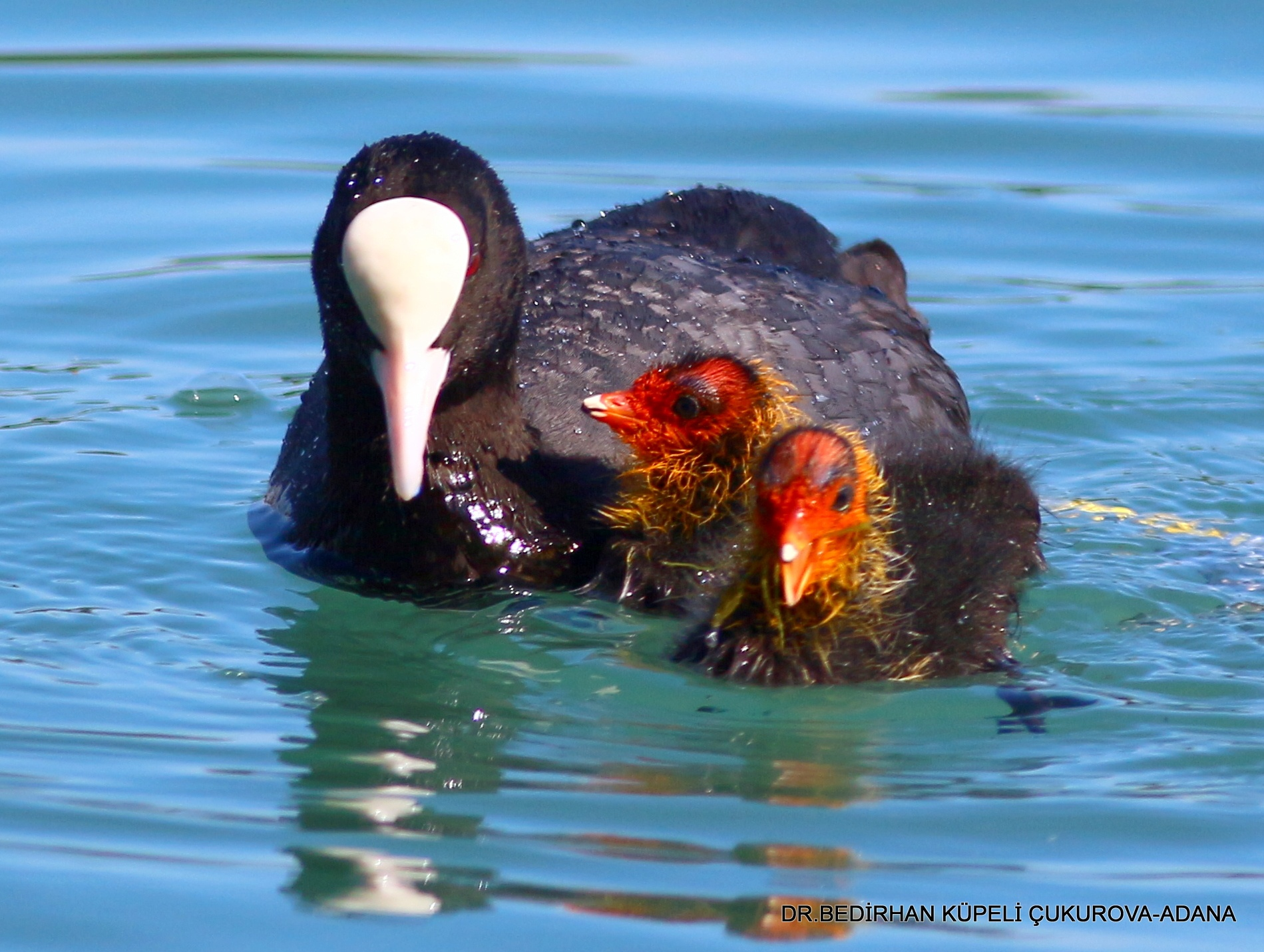 Photo in Animal #coot #bird #animal #nature #bedir #bedirhan #outdoor #canon #ornito #mother #baby #puppy #wild #wildlife #lake #swim #swamp #colorful