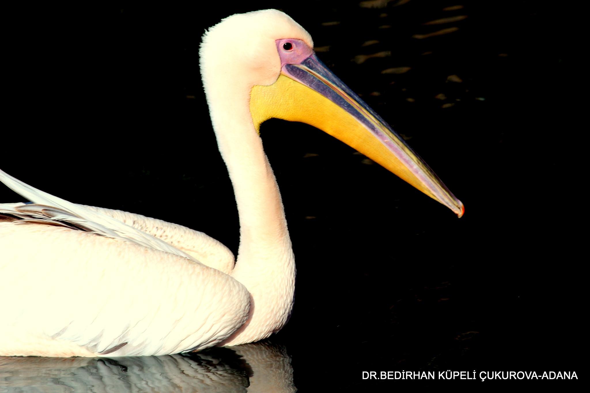 Great White Pelican...... by Bedirhan Küpeli