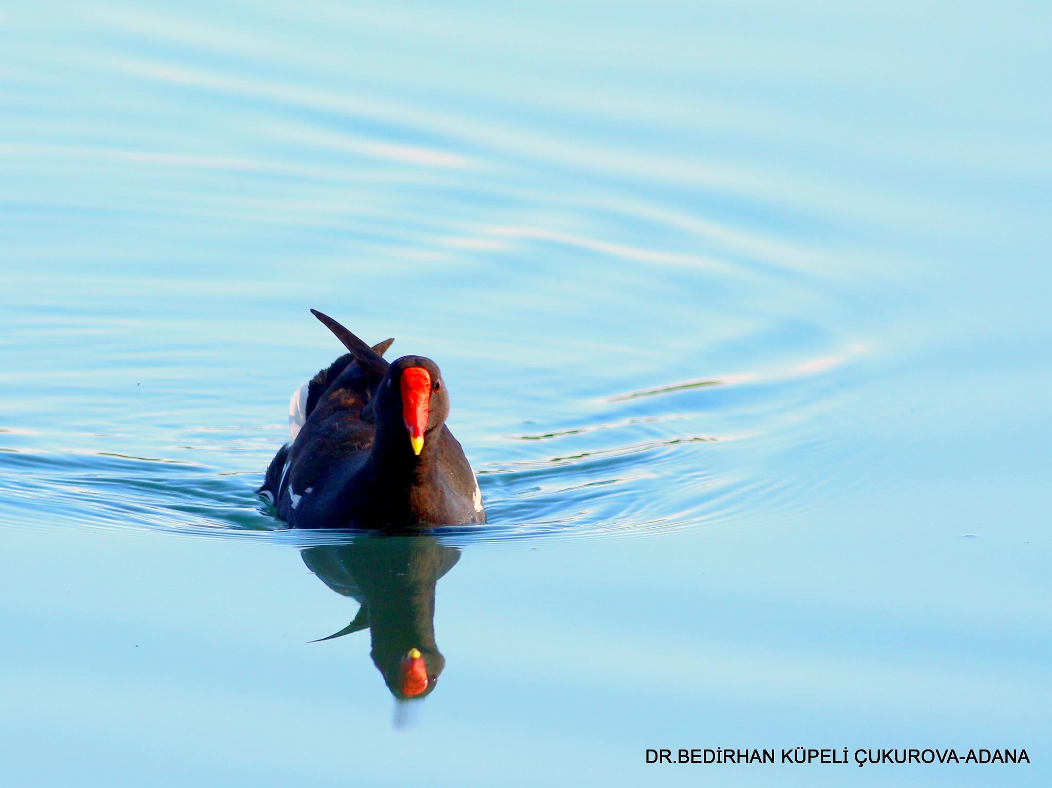 Photo in Animal #moorhen #bird #animal #nature #bedir #bedirhan #outdoor #canon #ornito #colorful #lake #swim #swamp #wild #wildlife