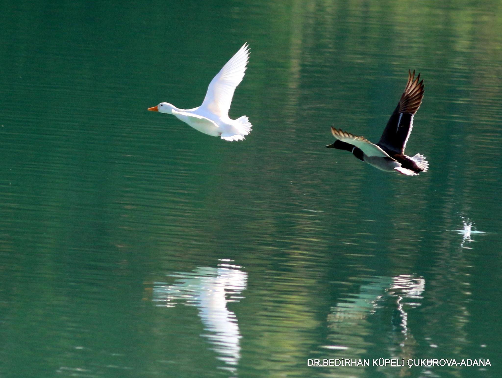 Duck is flying on the lake... by Bedirhan Küpeli