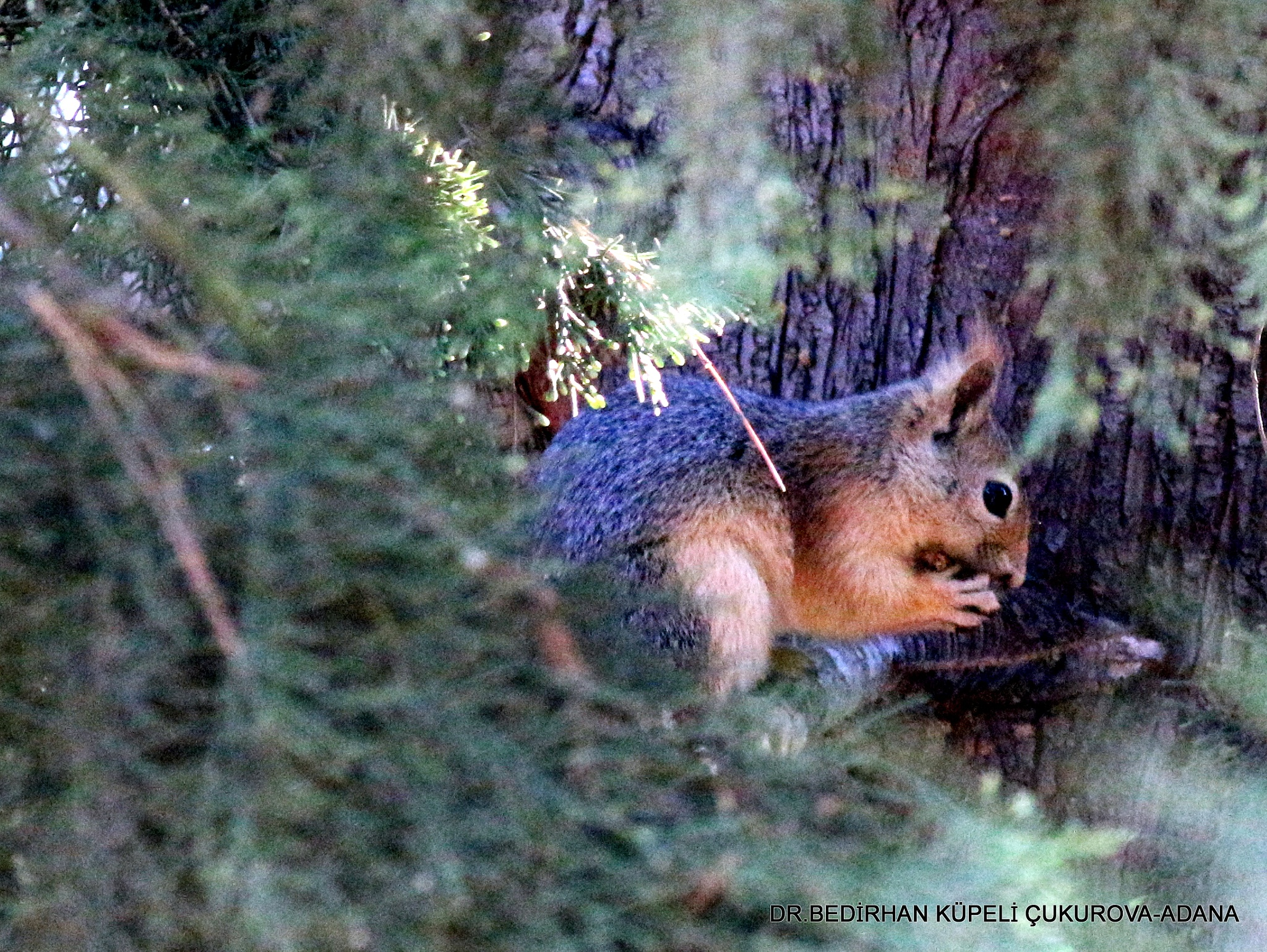 Squirrel is feeding on the pine tree..... by Bedirhan Küpeli