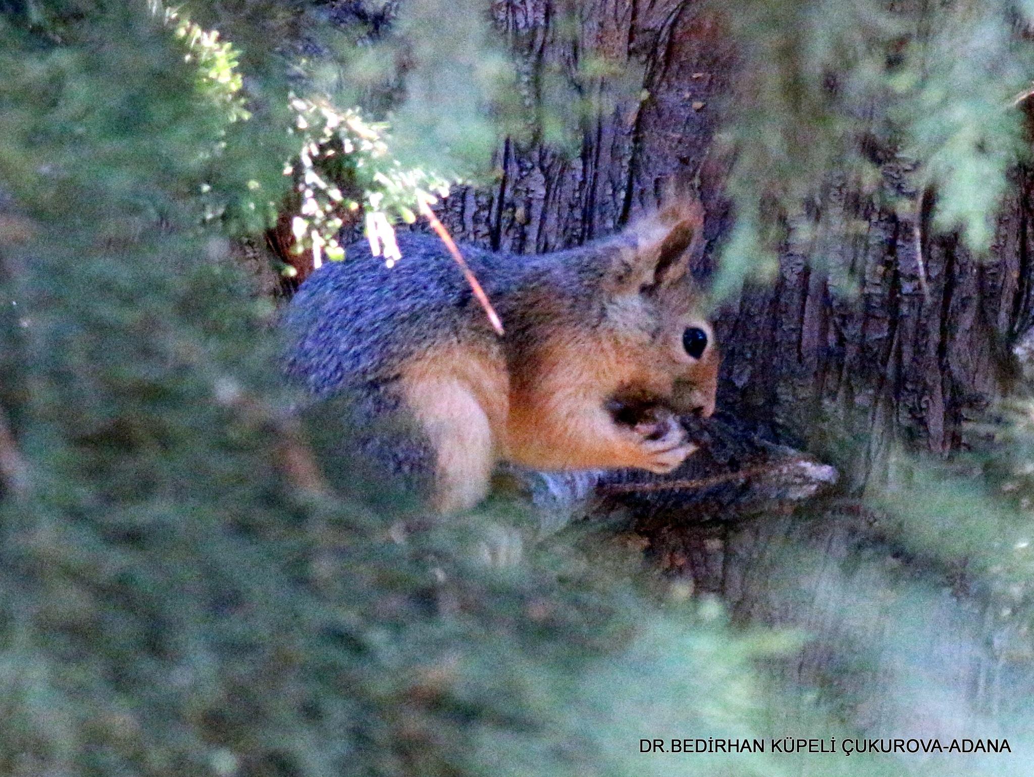 Squirrel.... by Bedirhan Küpeli