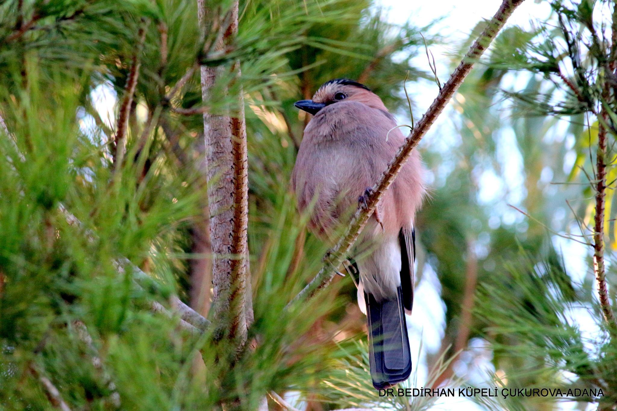 at the pine tree forest.... by Bedirhan Küpeli