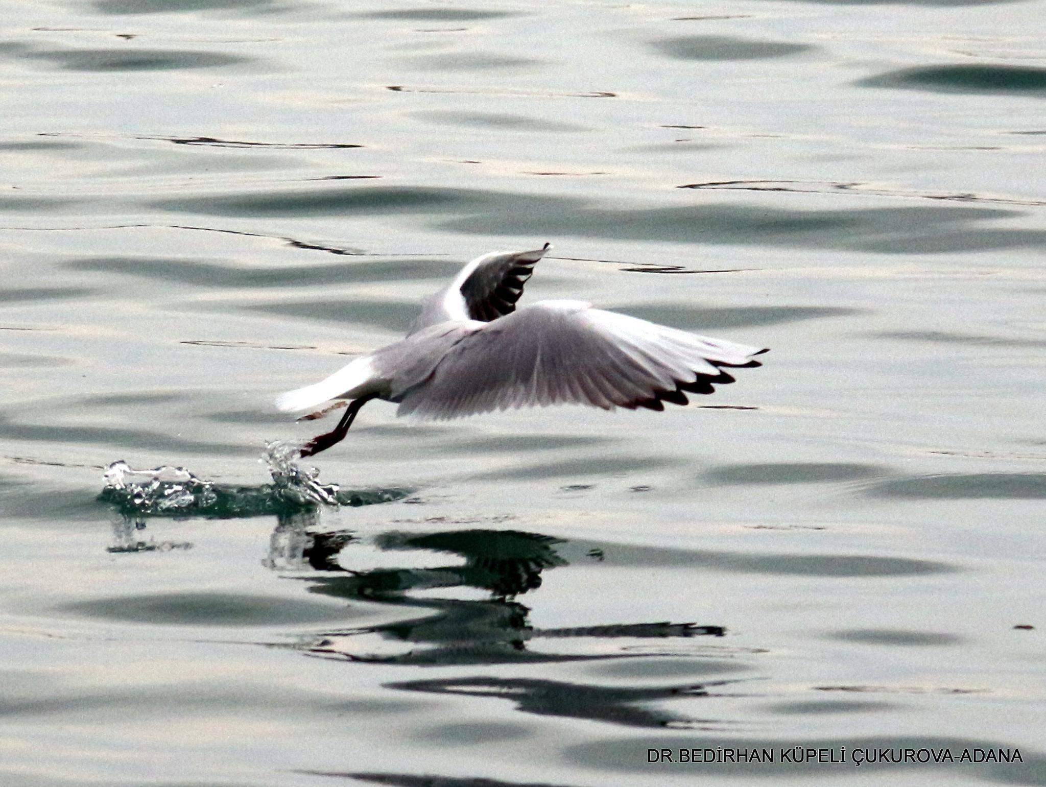 gull by Bedirhan Küpeli