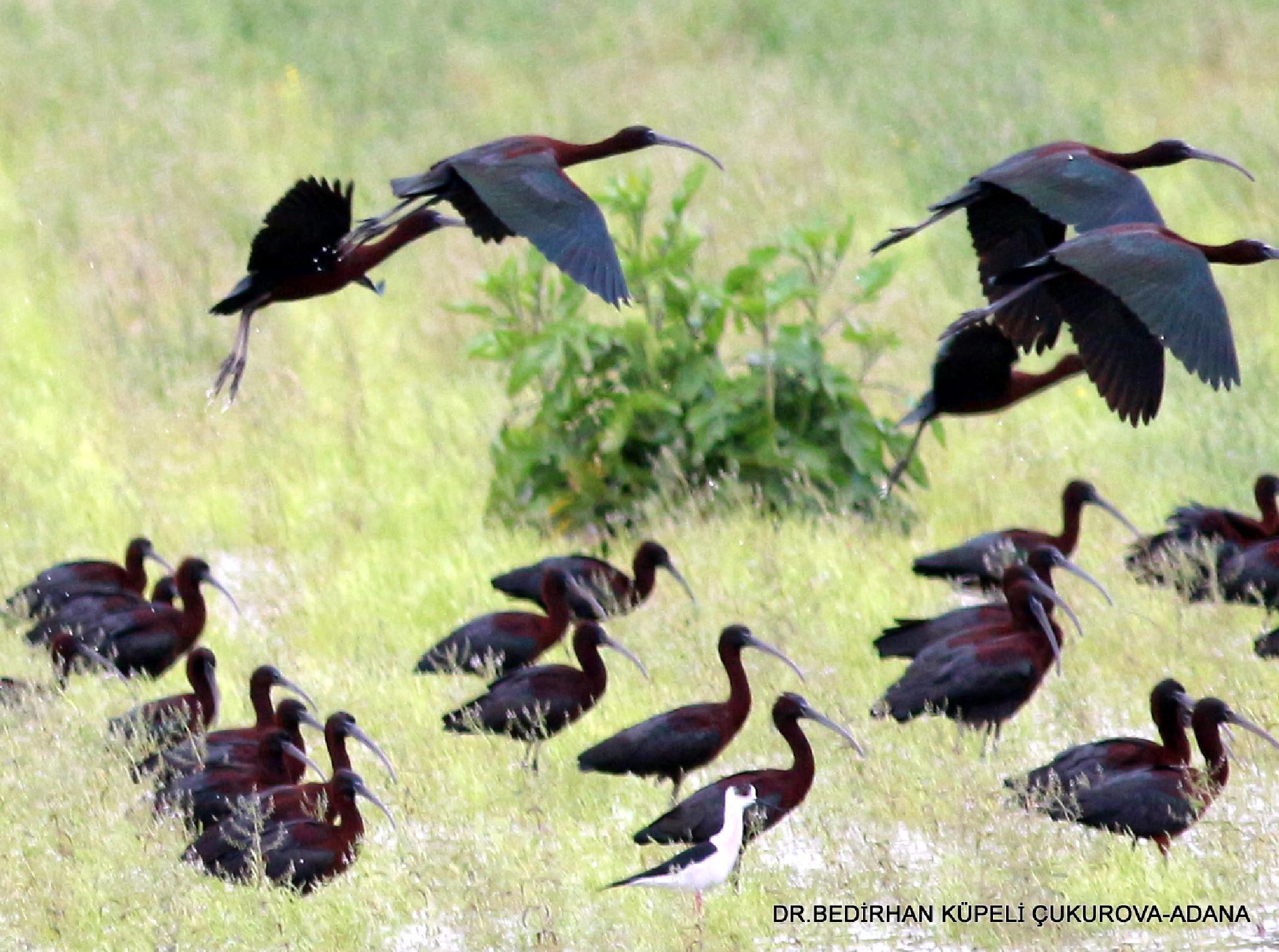Glossy Ibis  by Bedirhan Küpeli