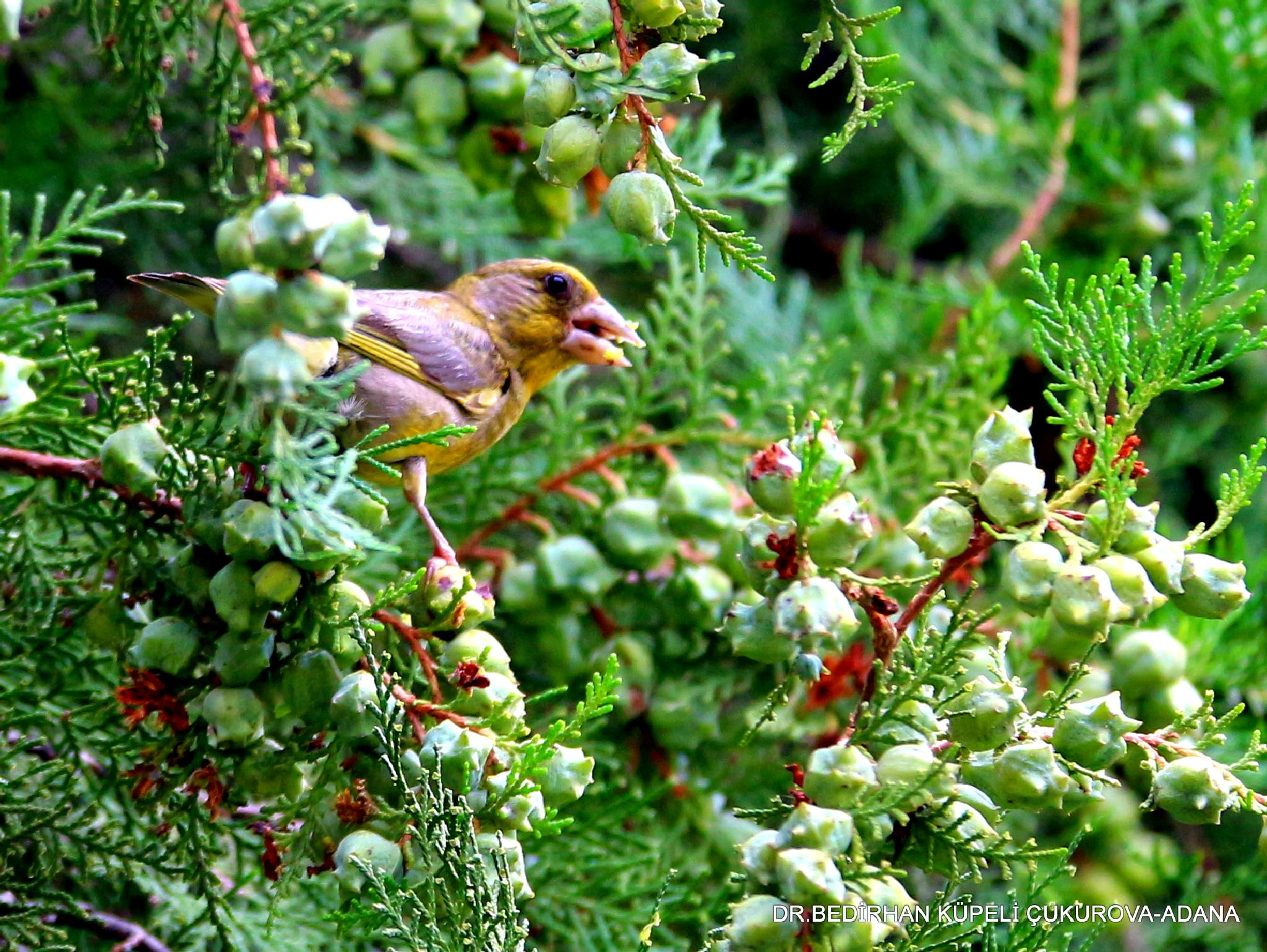 Greenfinch by Bedirhan Küpeli
