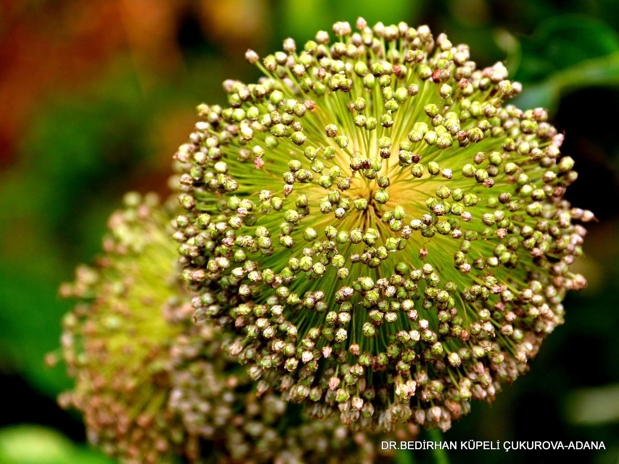 Photo in Macro #leek #flower #seed #nature #macro #ordu #turkey #türkiye #türk #colorful #green #red #blue #yellow #natural