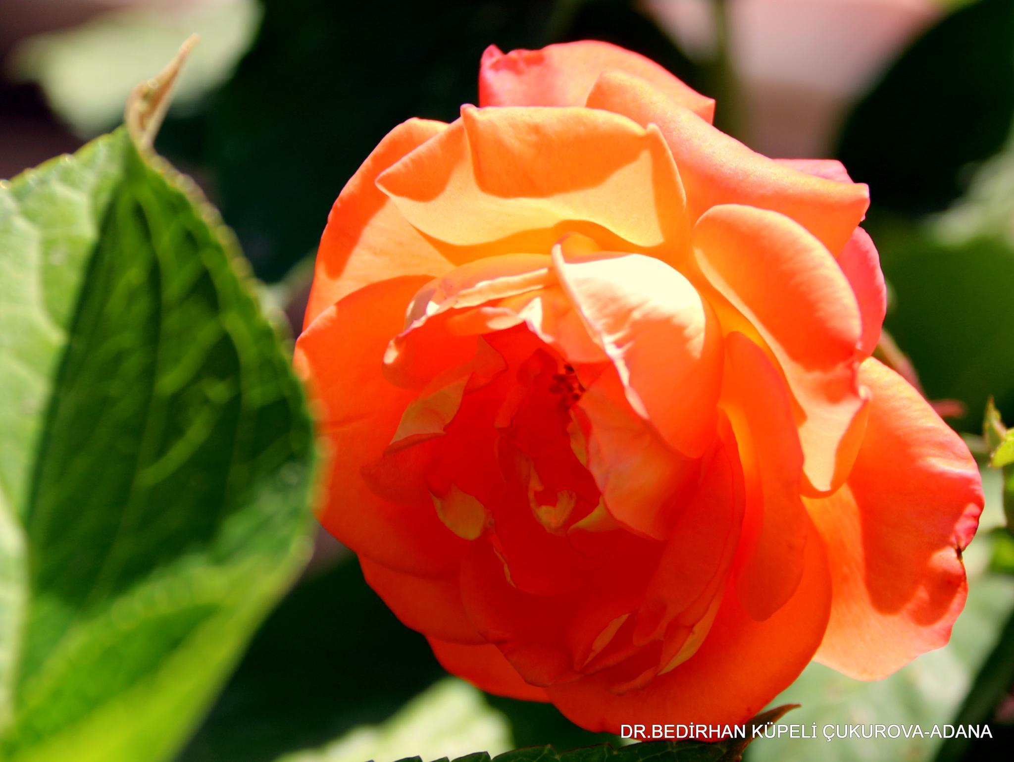 orange rose by Bedirhan Küpeli