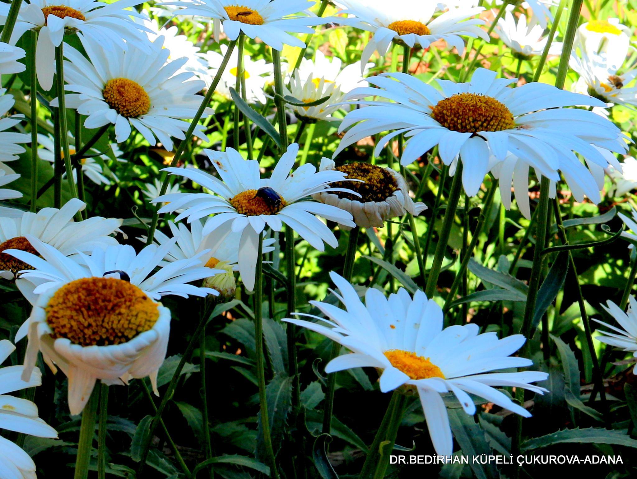 daisy flowers by Bedirhan Küpeli