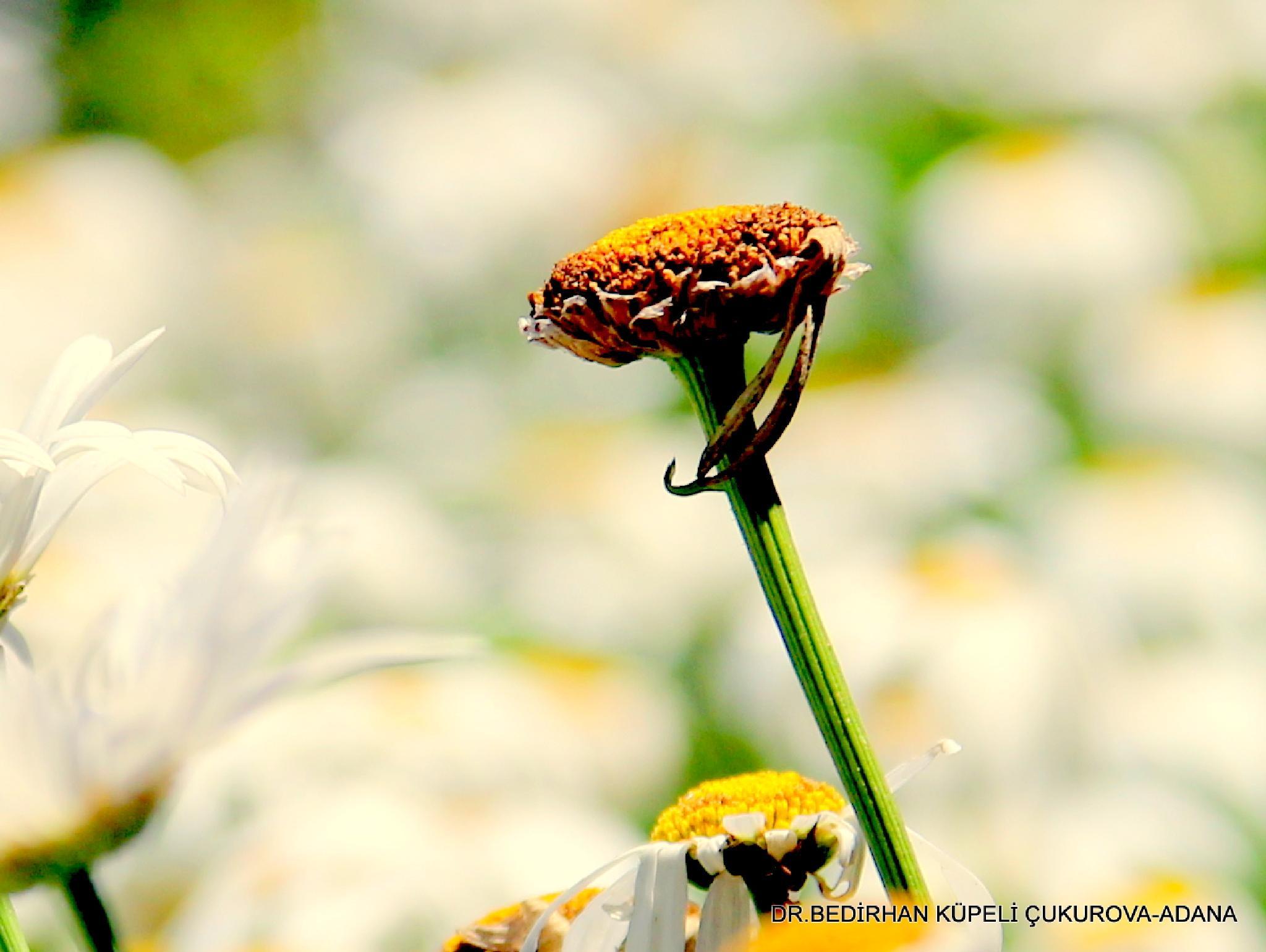 daisy plant by Bedirhan Küpeli