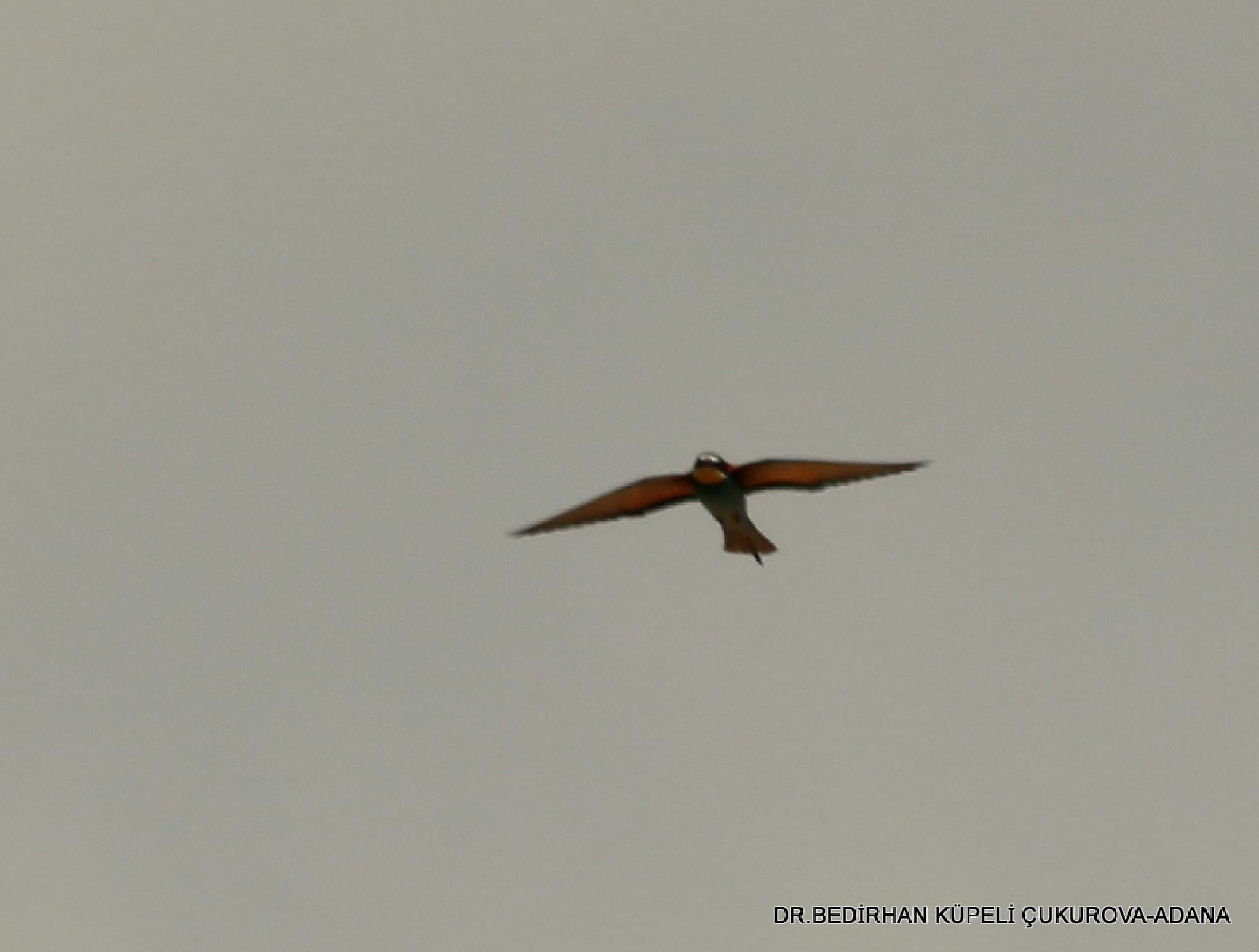 Bee-eater by Bedirhan Küpeli