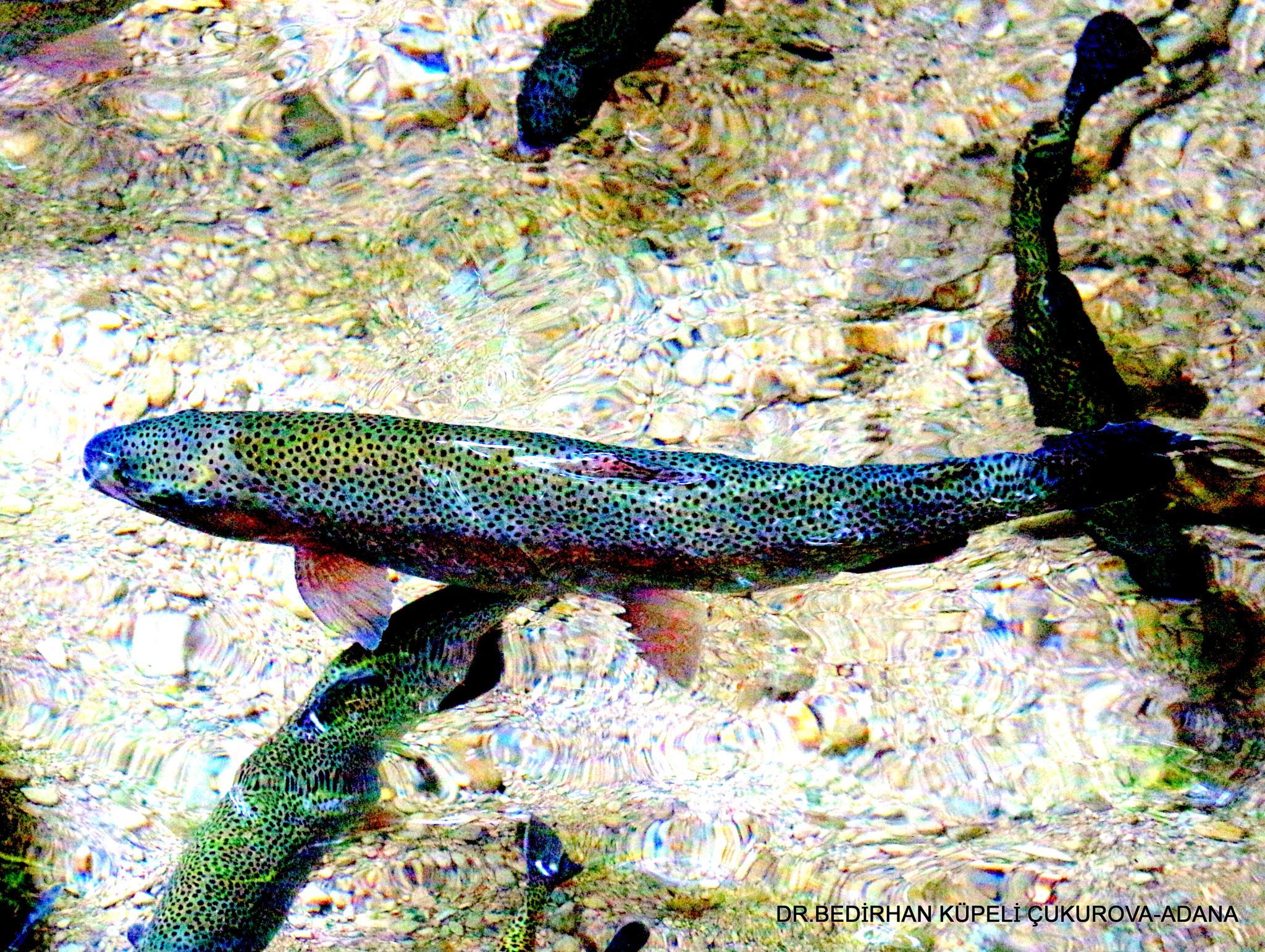 trout by Bedirhan Küpeli