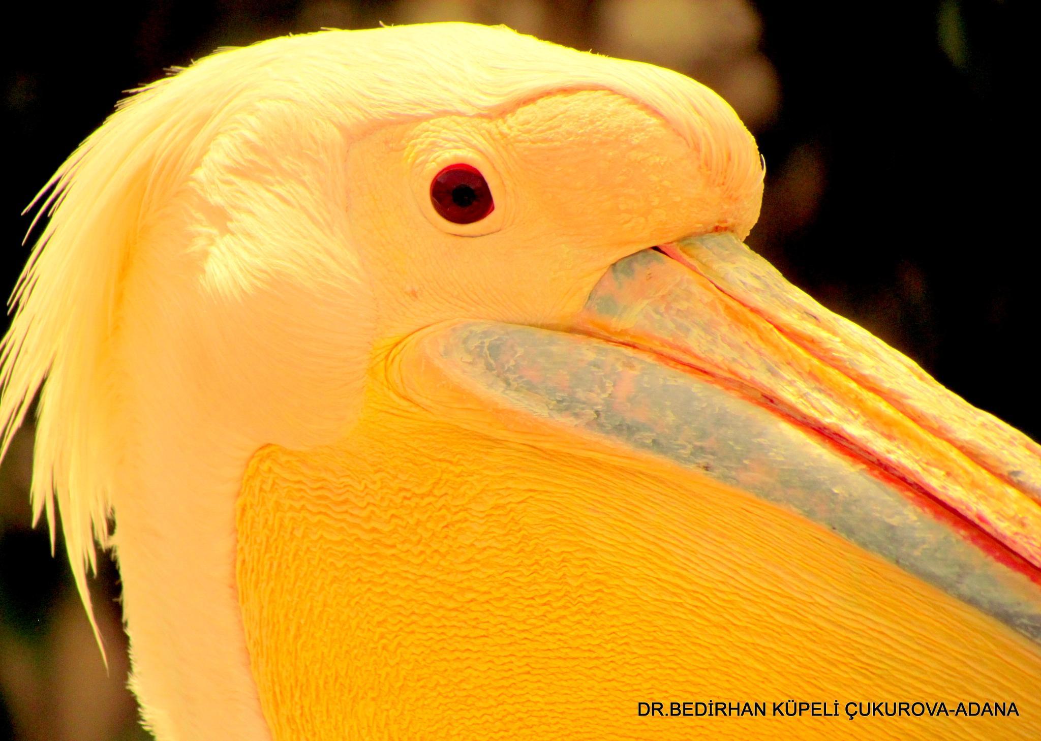 pelican by Bedirhan Küpeli