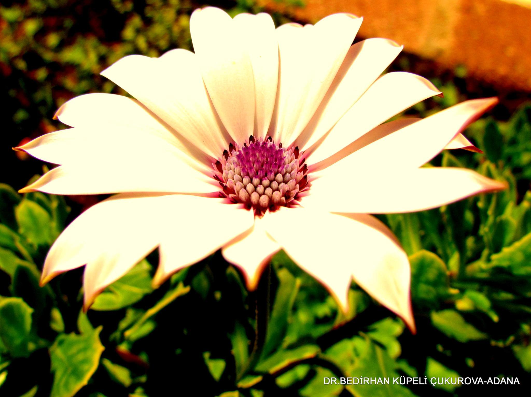 Giant Daisy by Bedirhan Küpeli