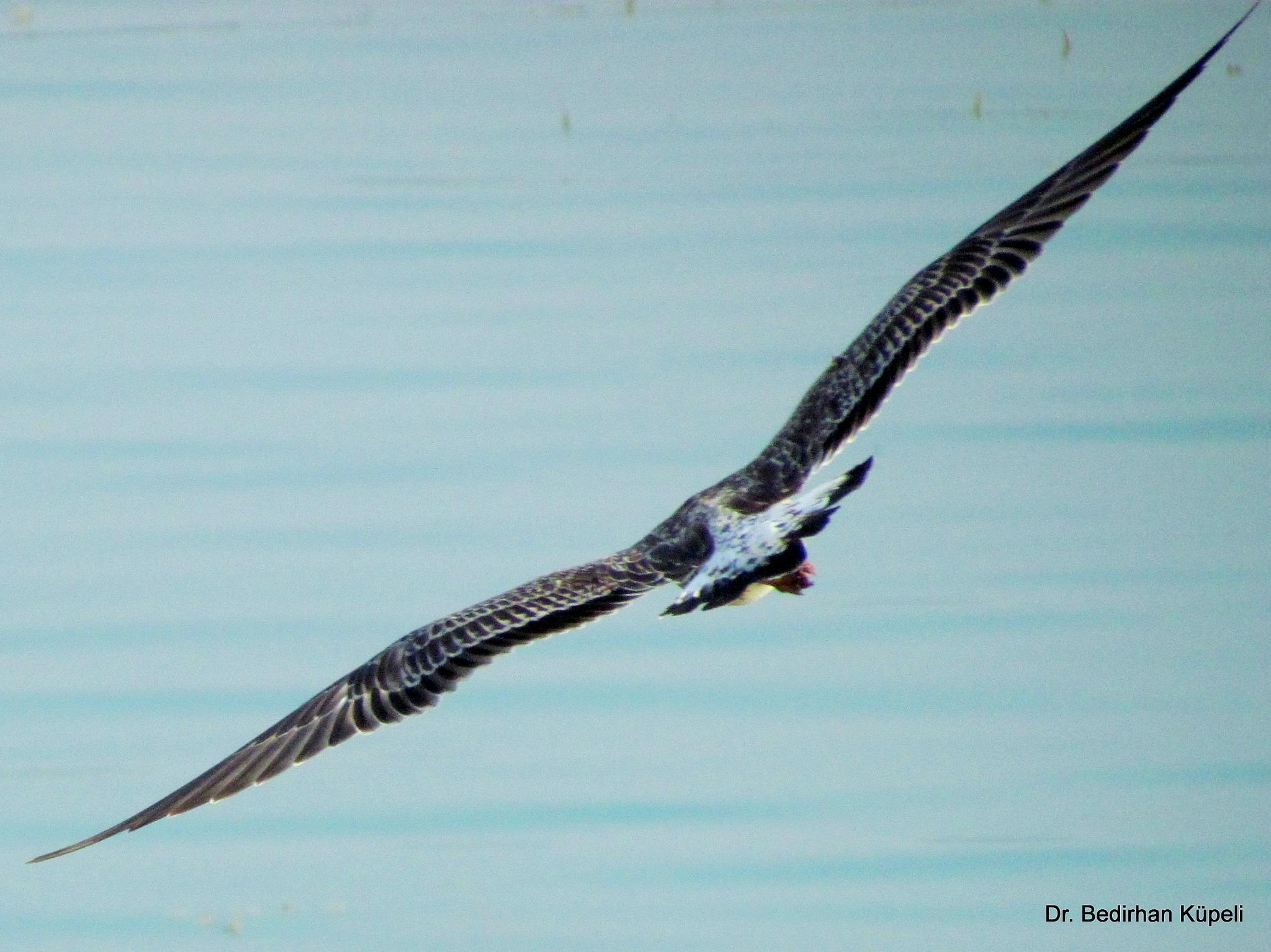 Giant Gull by Bedirhan Küpeli