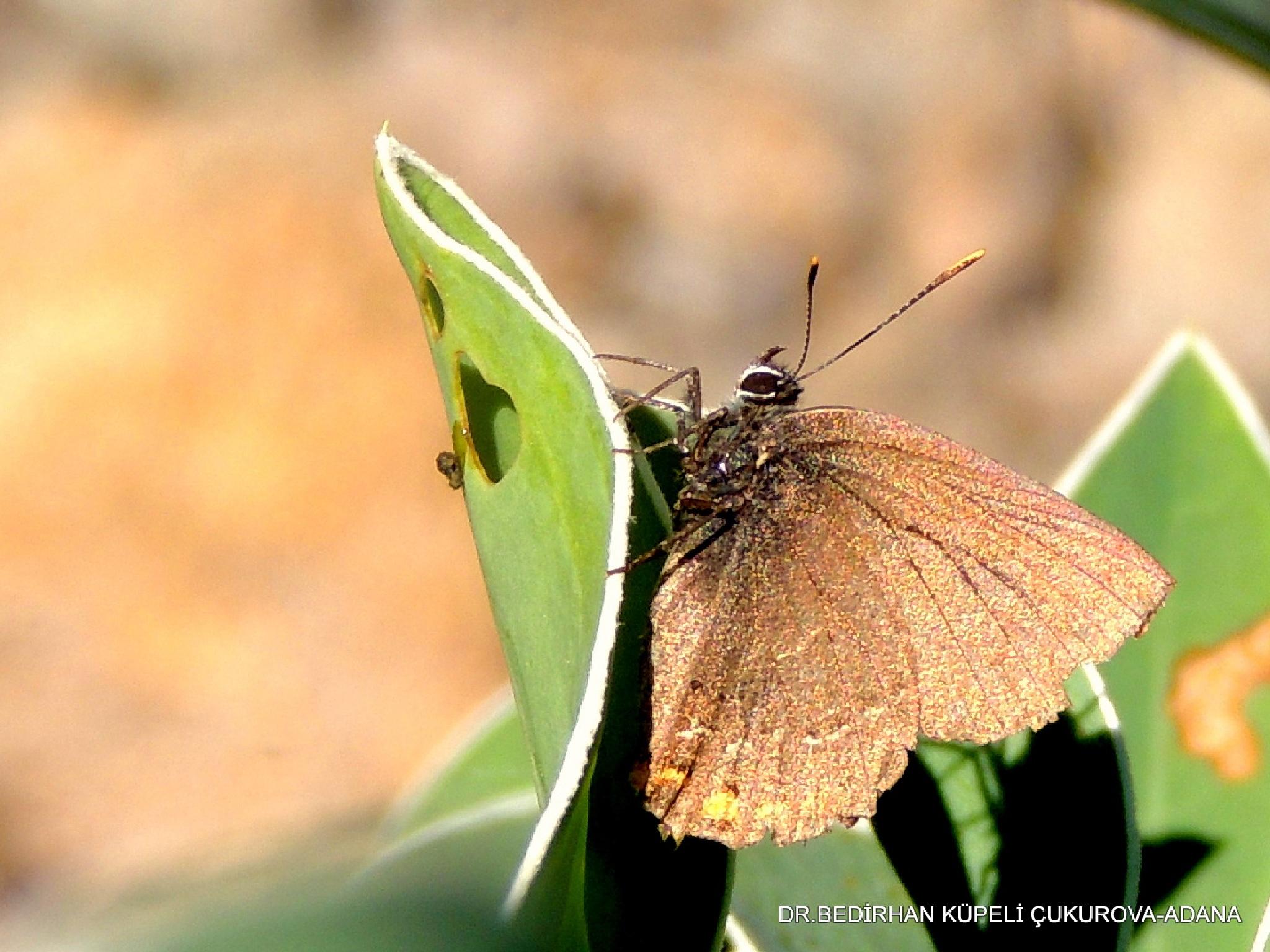 Butterfly-2 by Bedirhan Küpeli