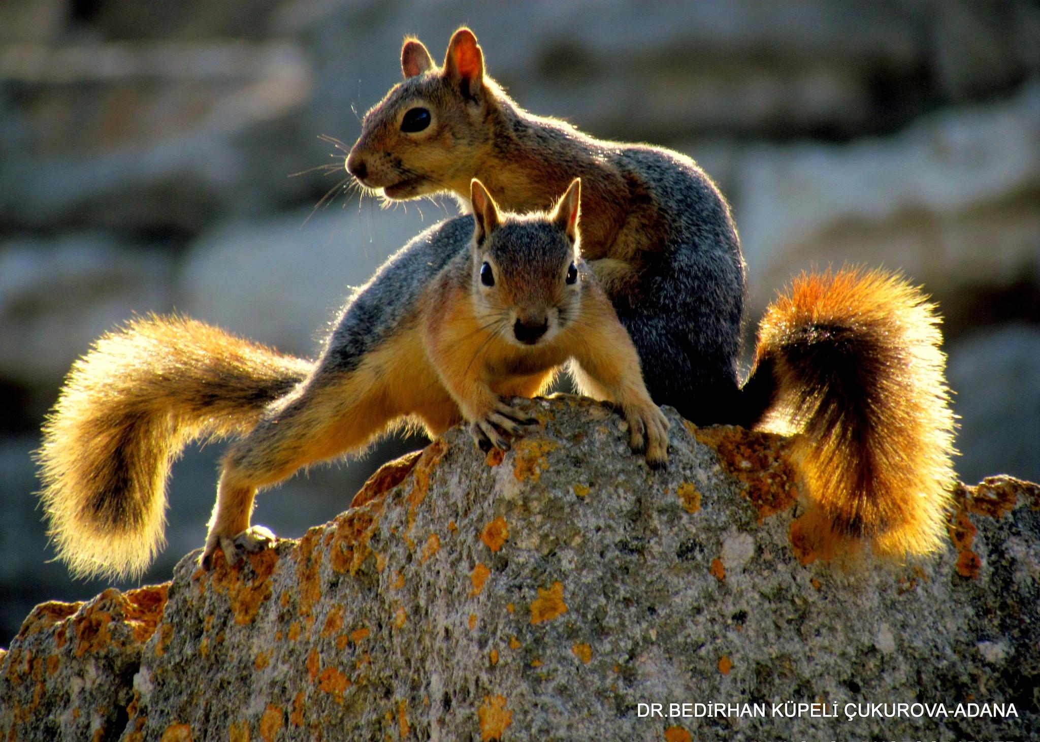 Double Squirrels by Bedirhan Küpeli