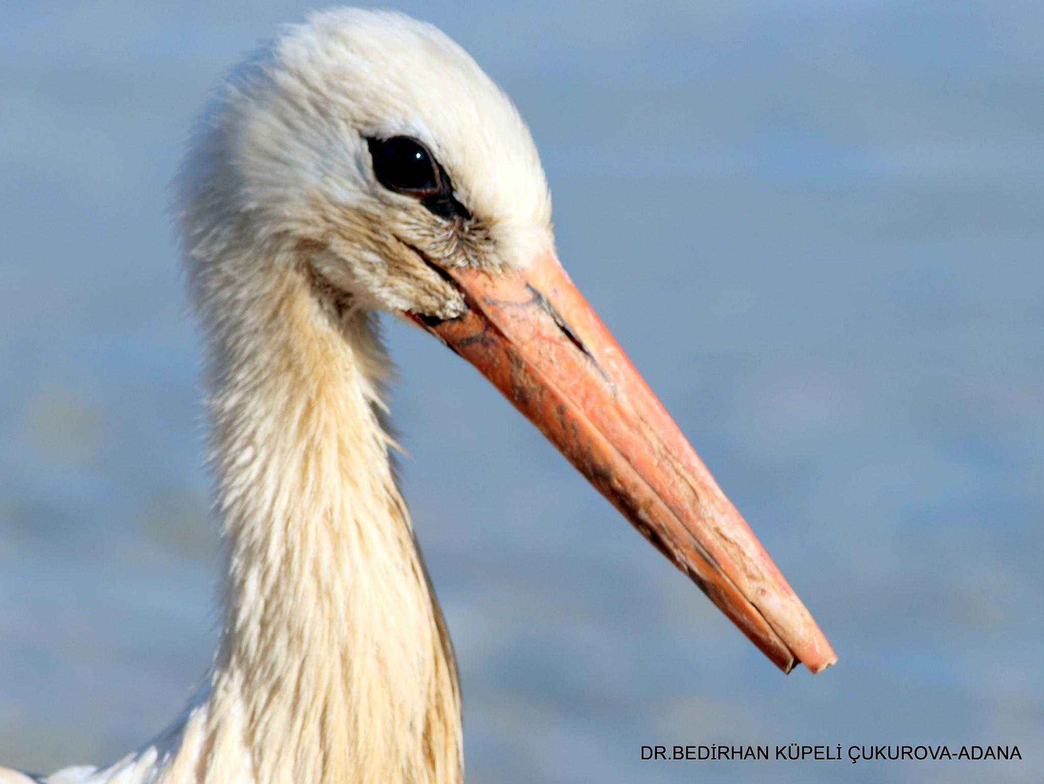 Broken-billed Stork by Bedirhan Küpeli