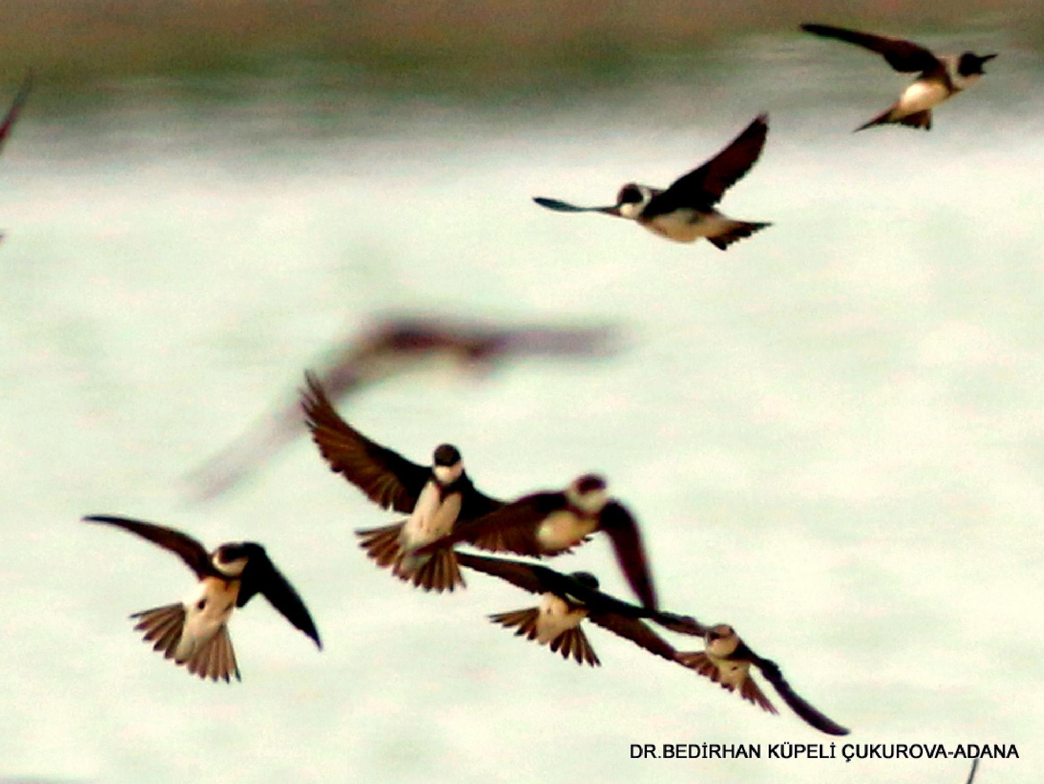 Swallows are dancing arm in arm.... by Bedirhan Küpeli