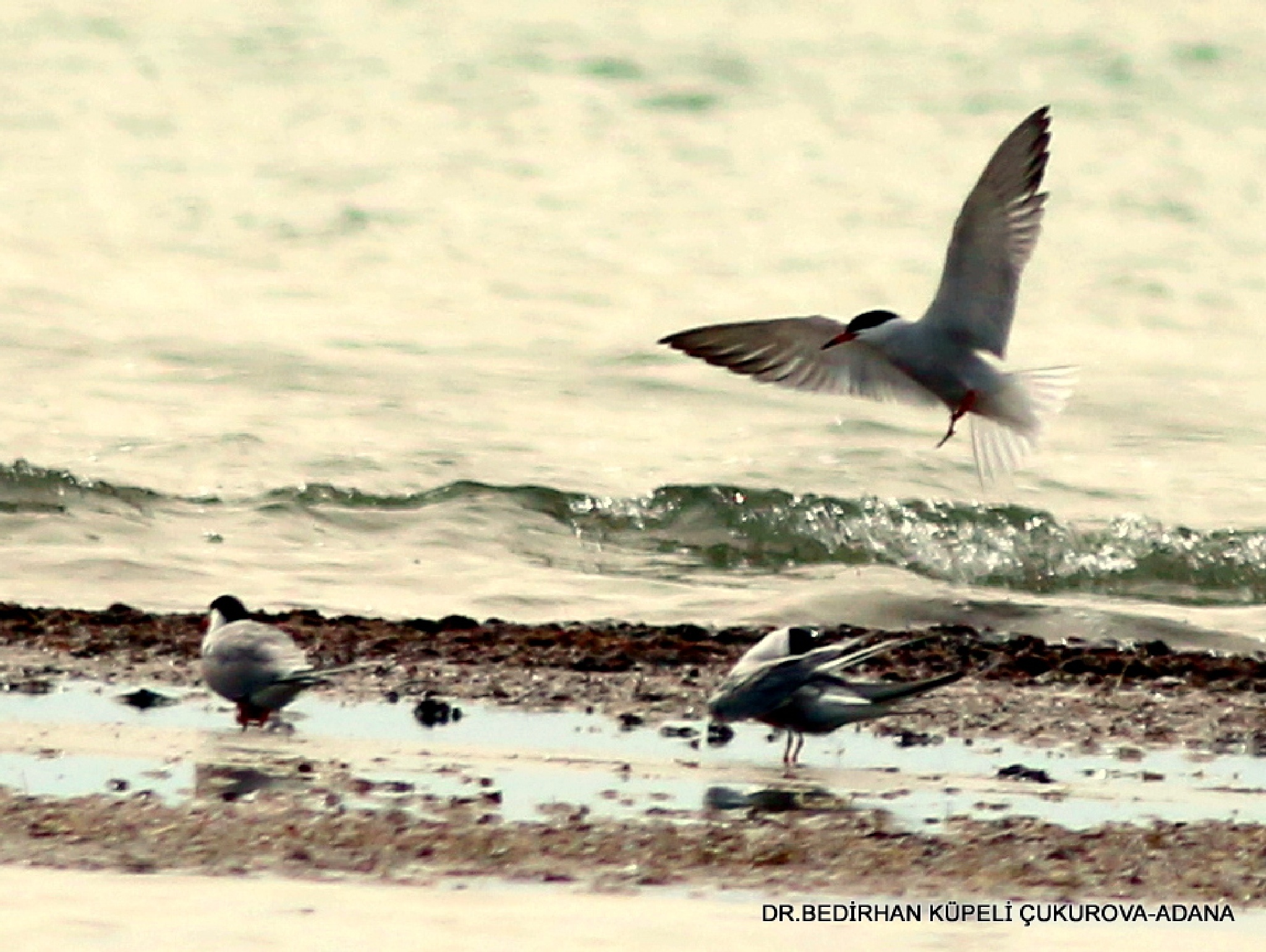 Little Terns at the seaside by Bedirhan Küpeli