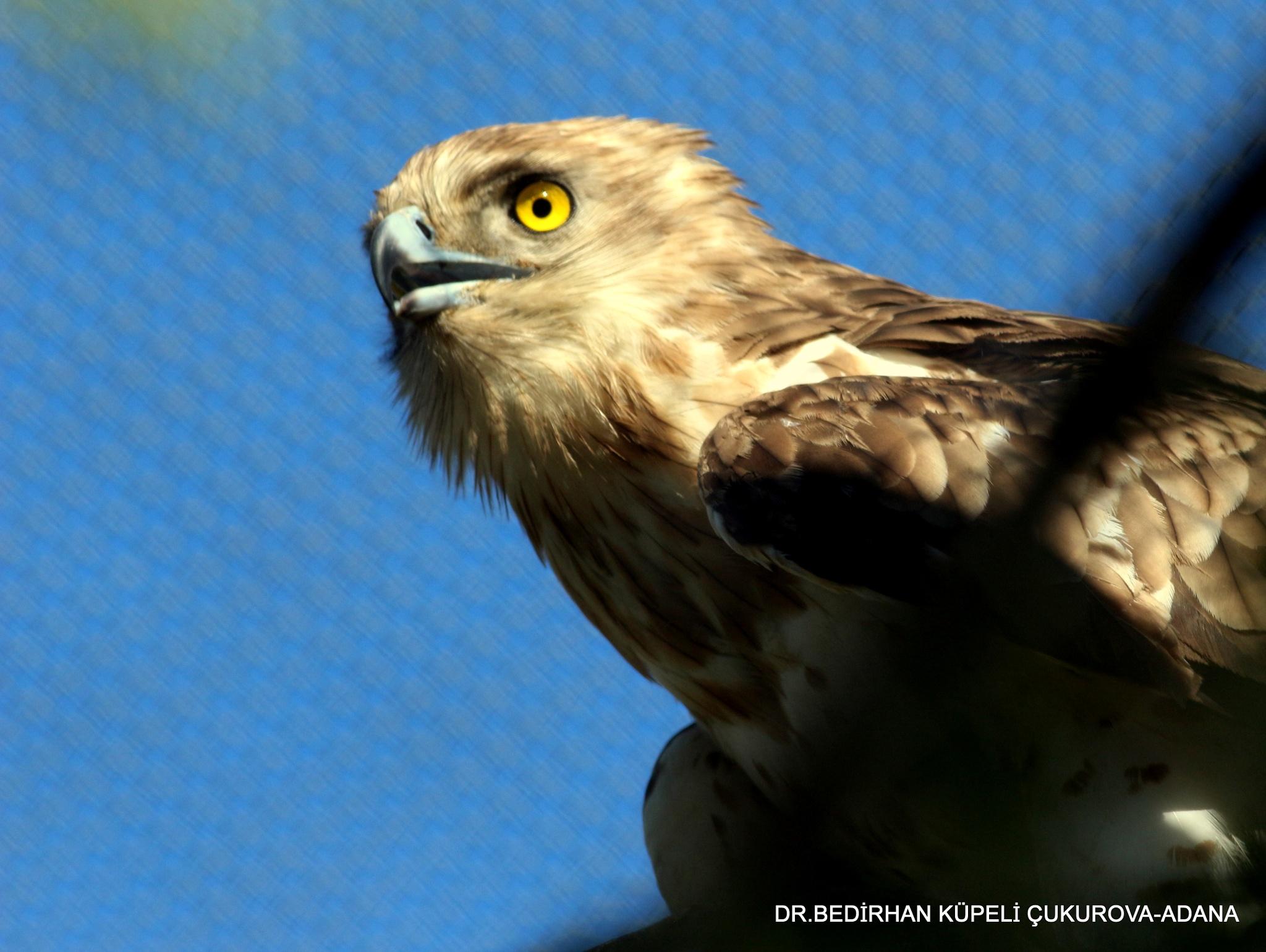 Short-toed Snake Eagle by Bedirhan Küpeli