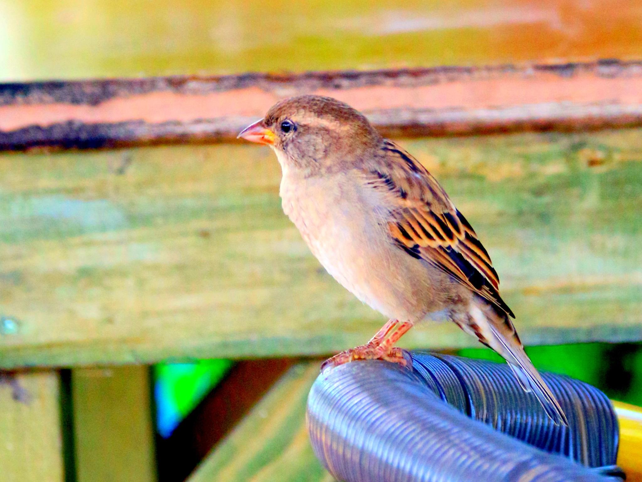 House Sparrow (female) by Bedirhan Küpeli