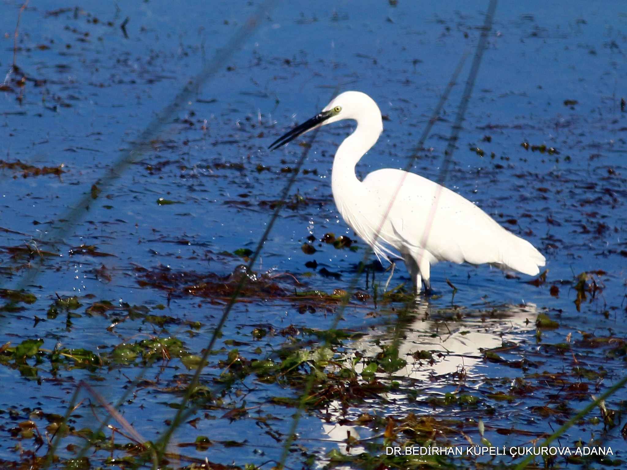 Little Egret-2 by Bedirhan Küpeli
