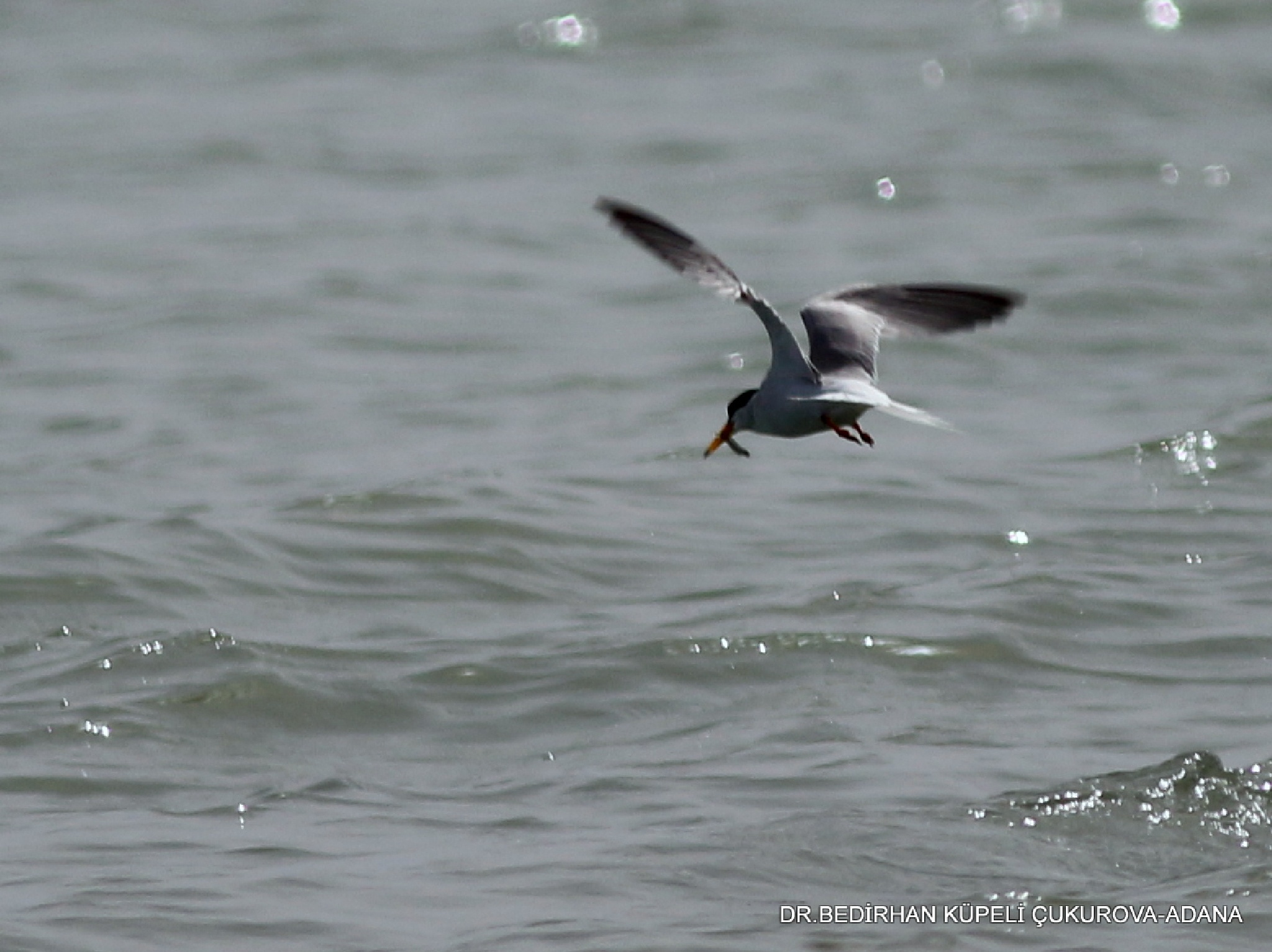 Tern caught a fish..... by Bedirhan Küpeli