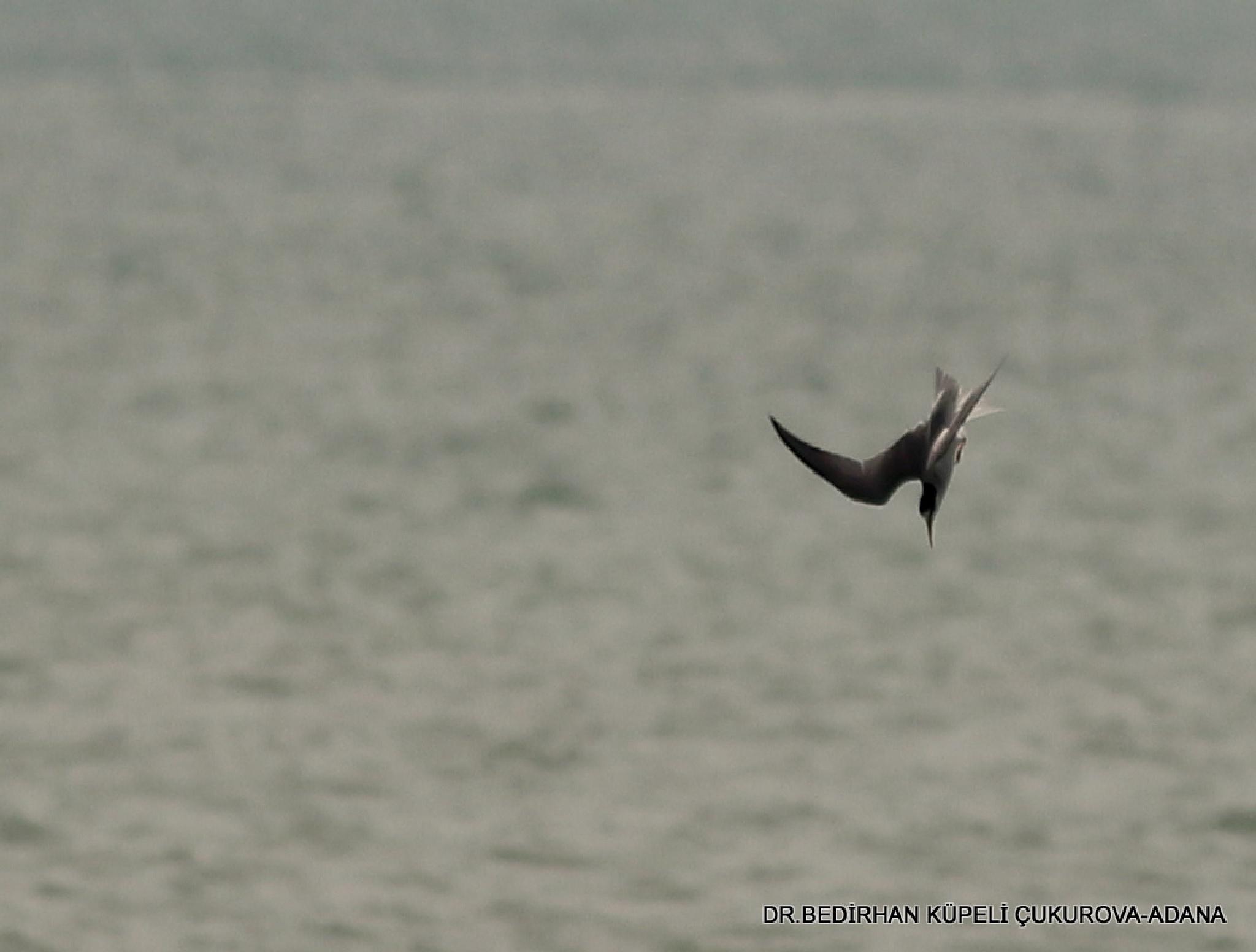 Tern dives to catch fish in the sea..... by Bedirhan Küpeli
