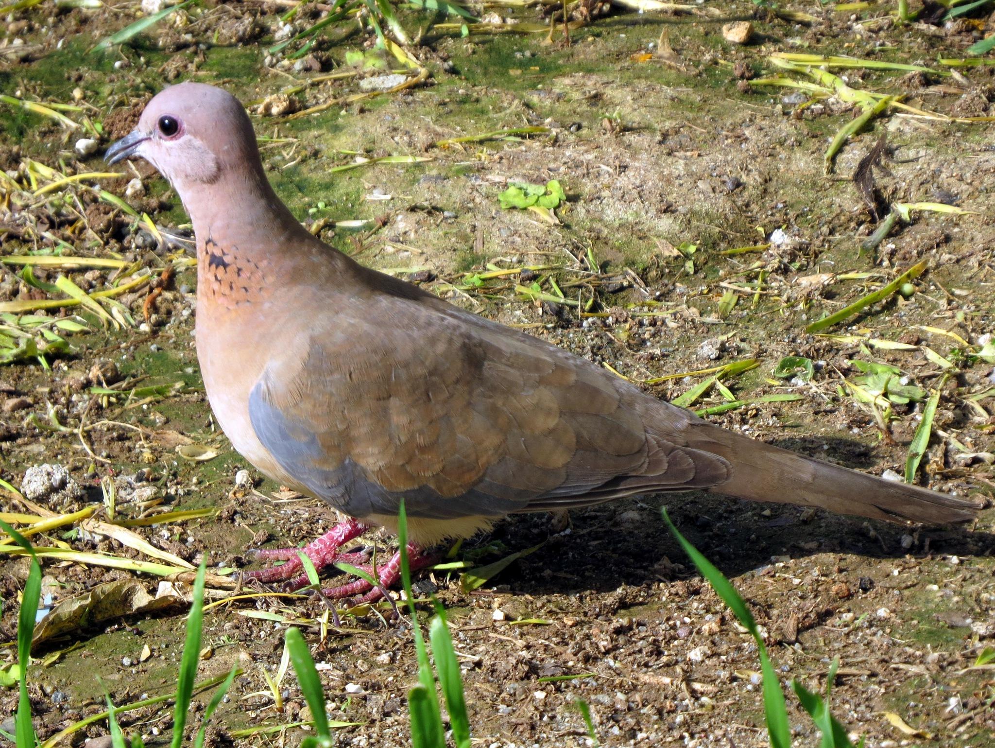 7939...Eurasian Collared Dove... by Bedirhan Küpeli