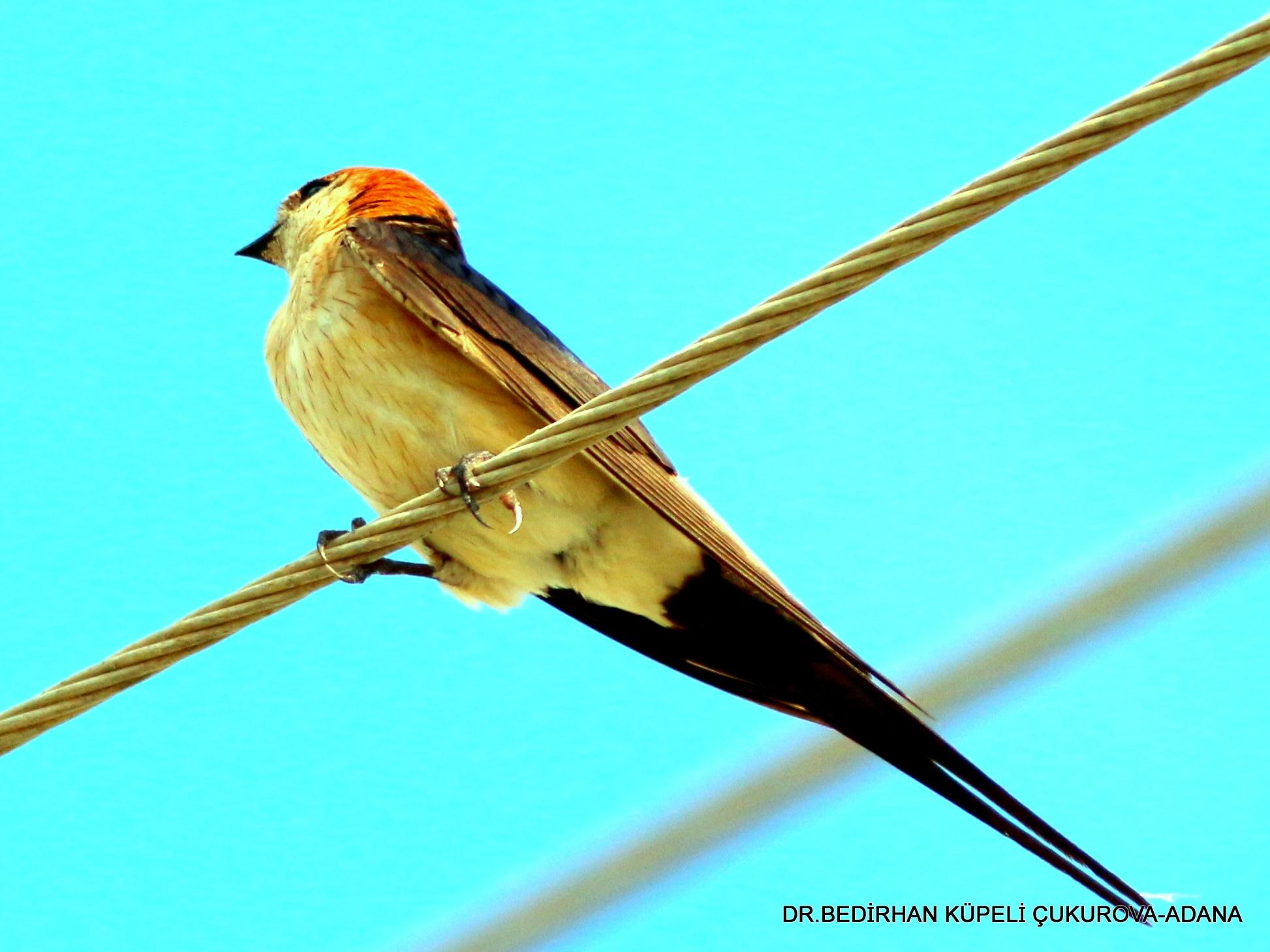 5295... Red-rumped Swallow... by Bedirhan Küpeli