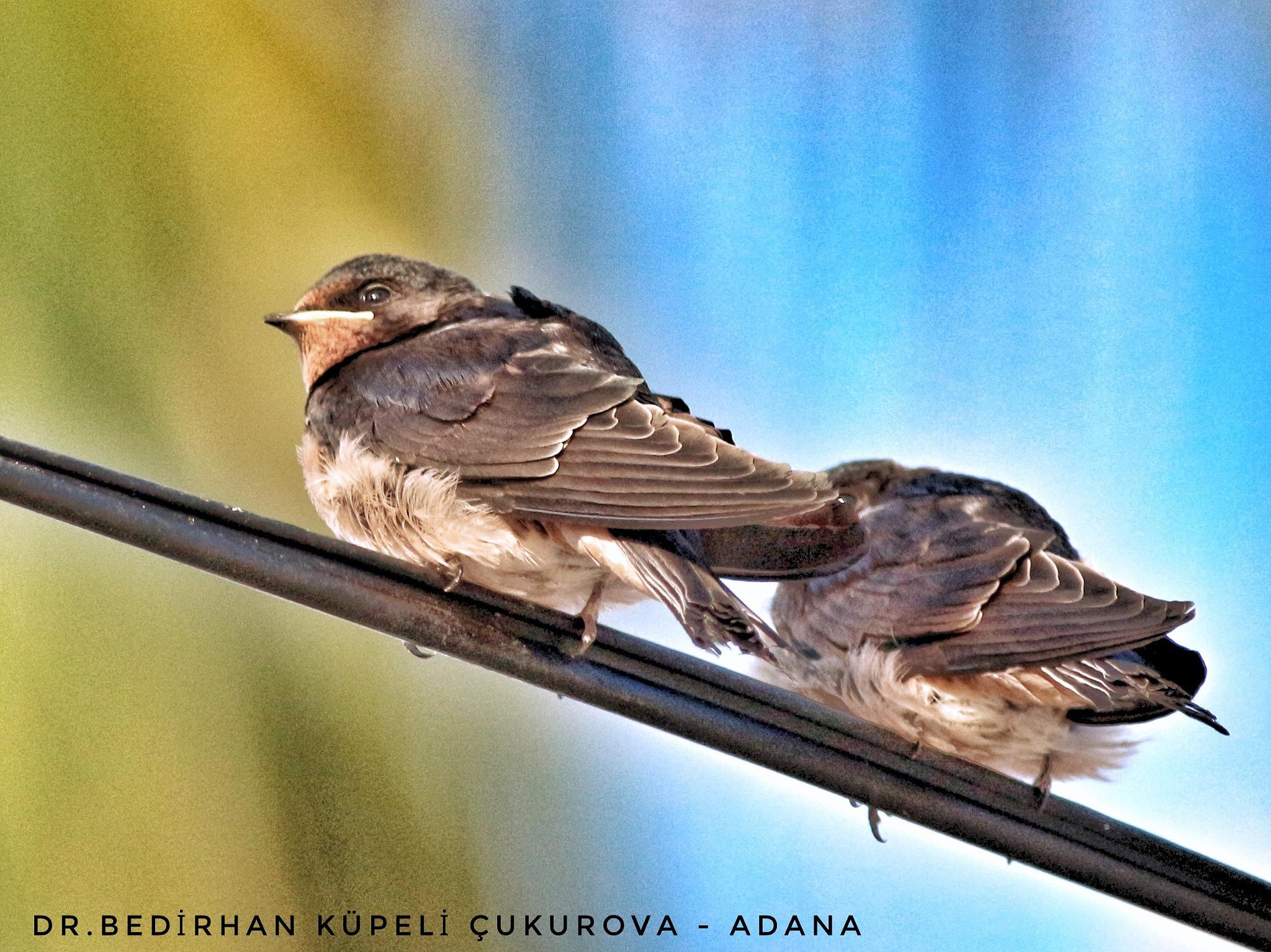 A couple of the baby Barn Swallow.... by Bedirhan Küpeli