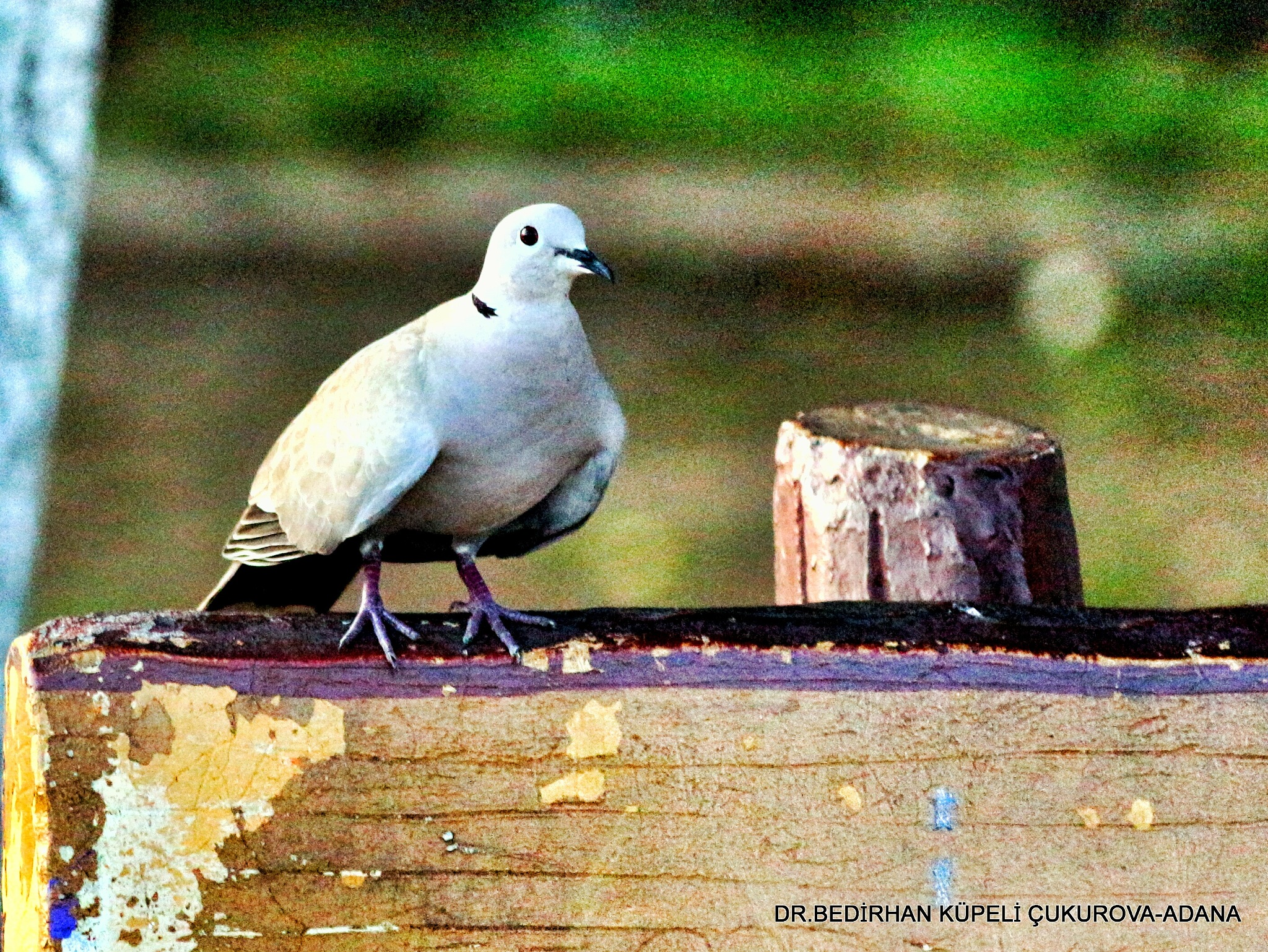 Dove on the bench... by Bedirhan Küpeli