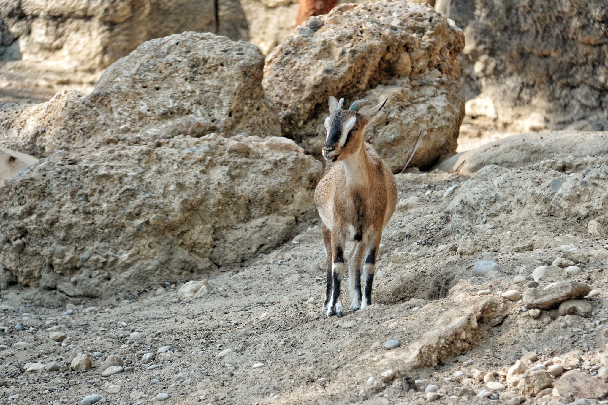 Wild Goat... by Bedirhan Küpeli