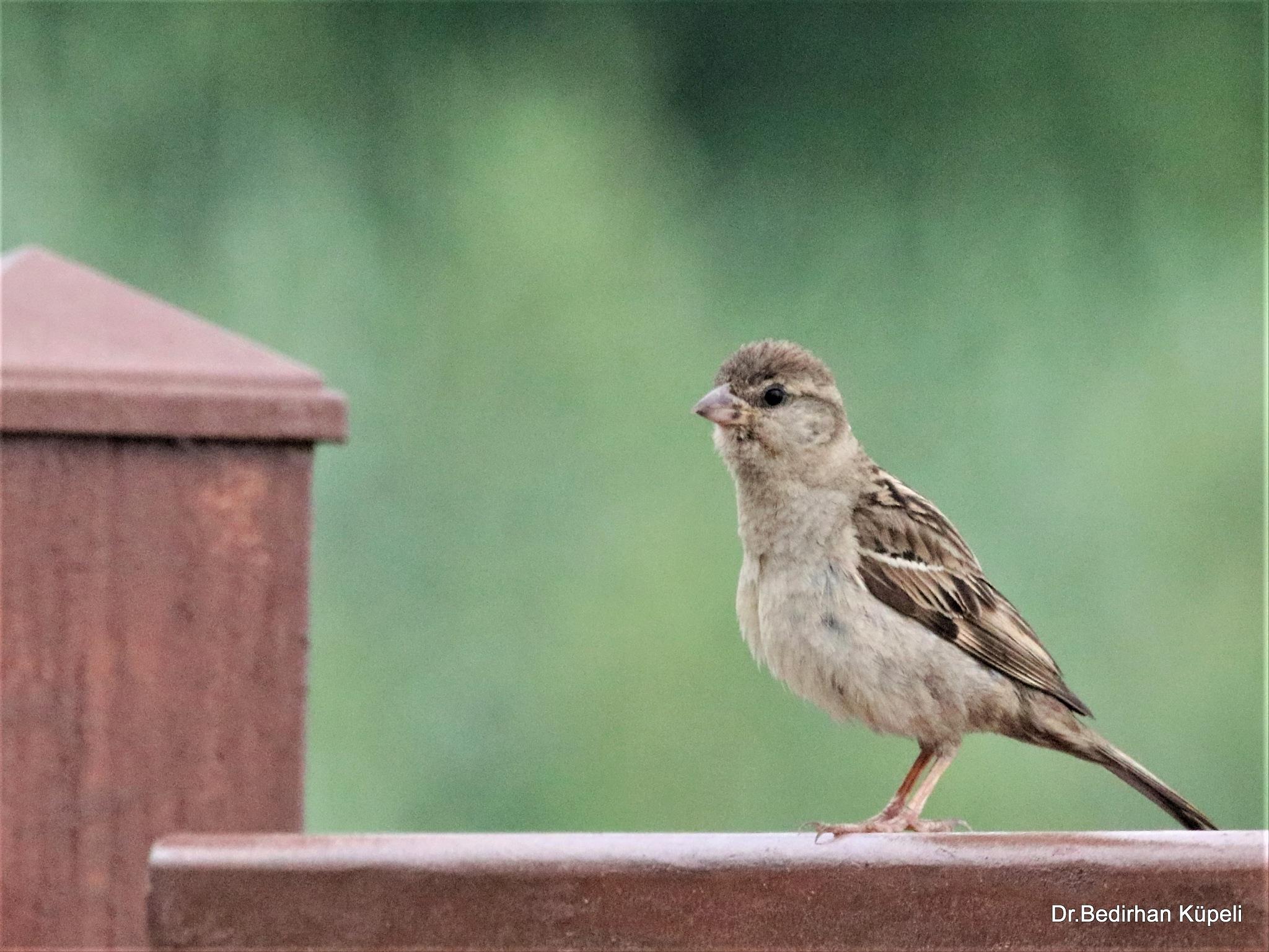 8312...Lonely little sparrow... by Bedirhan Küpeli