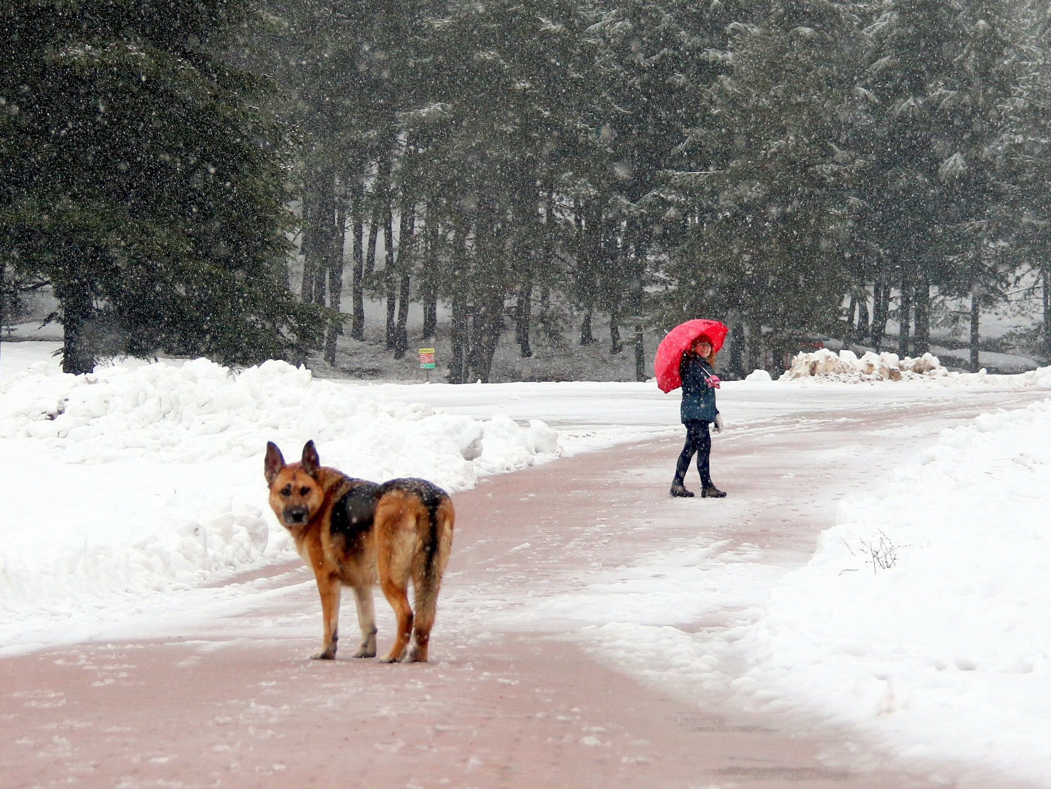 Photo in Random #dog #snow #rain #cold #winter #woman #girl #pose #look #watch #nature #bedir #bedirhan #outdoor #canon #ornito #colorful #red #blue #white #black #brown #yellow #street #highland #forest #pine #tree #natural light