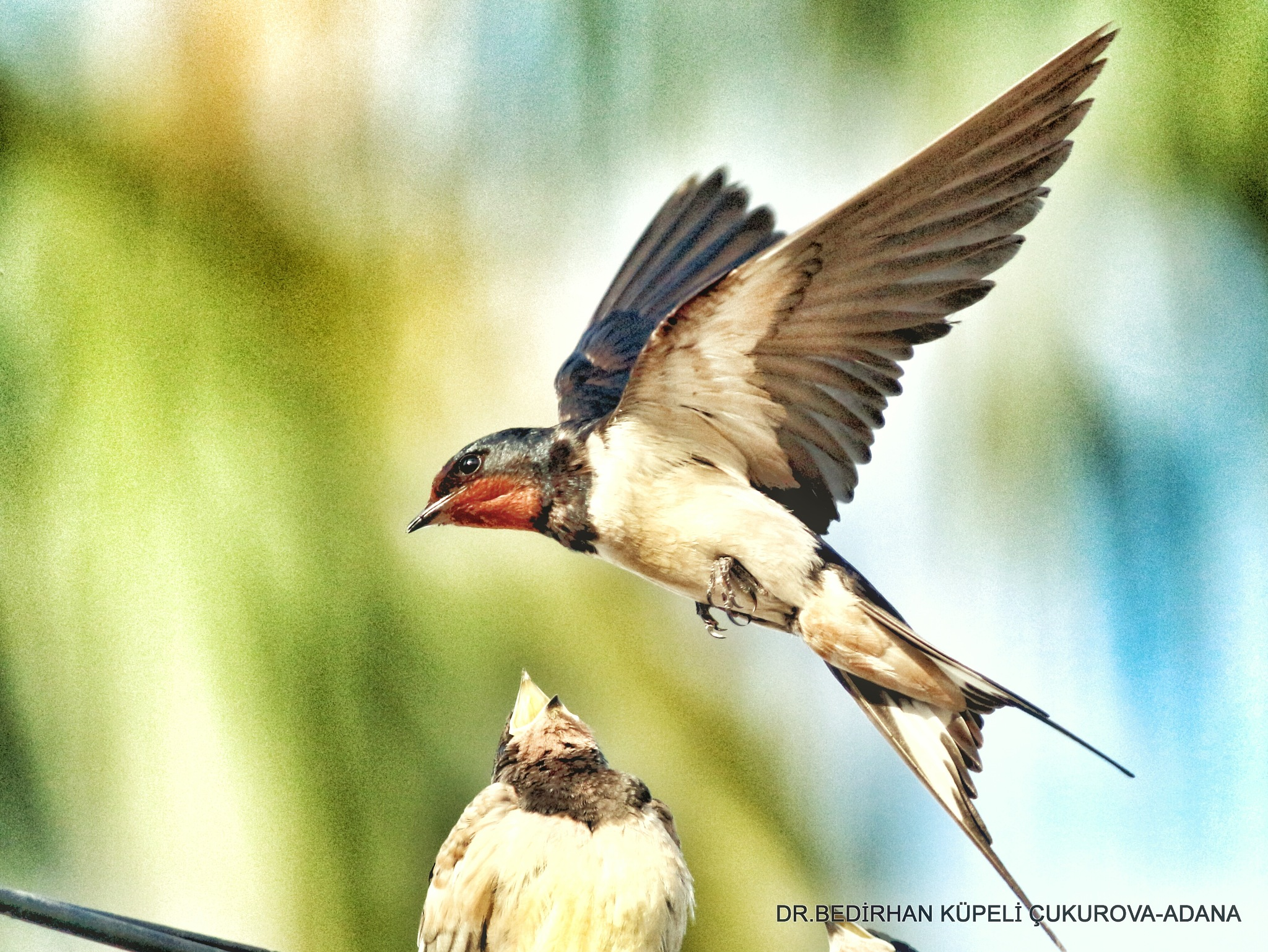 Barn Swallow (mother and baby)... by Bedirhan Küpeli