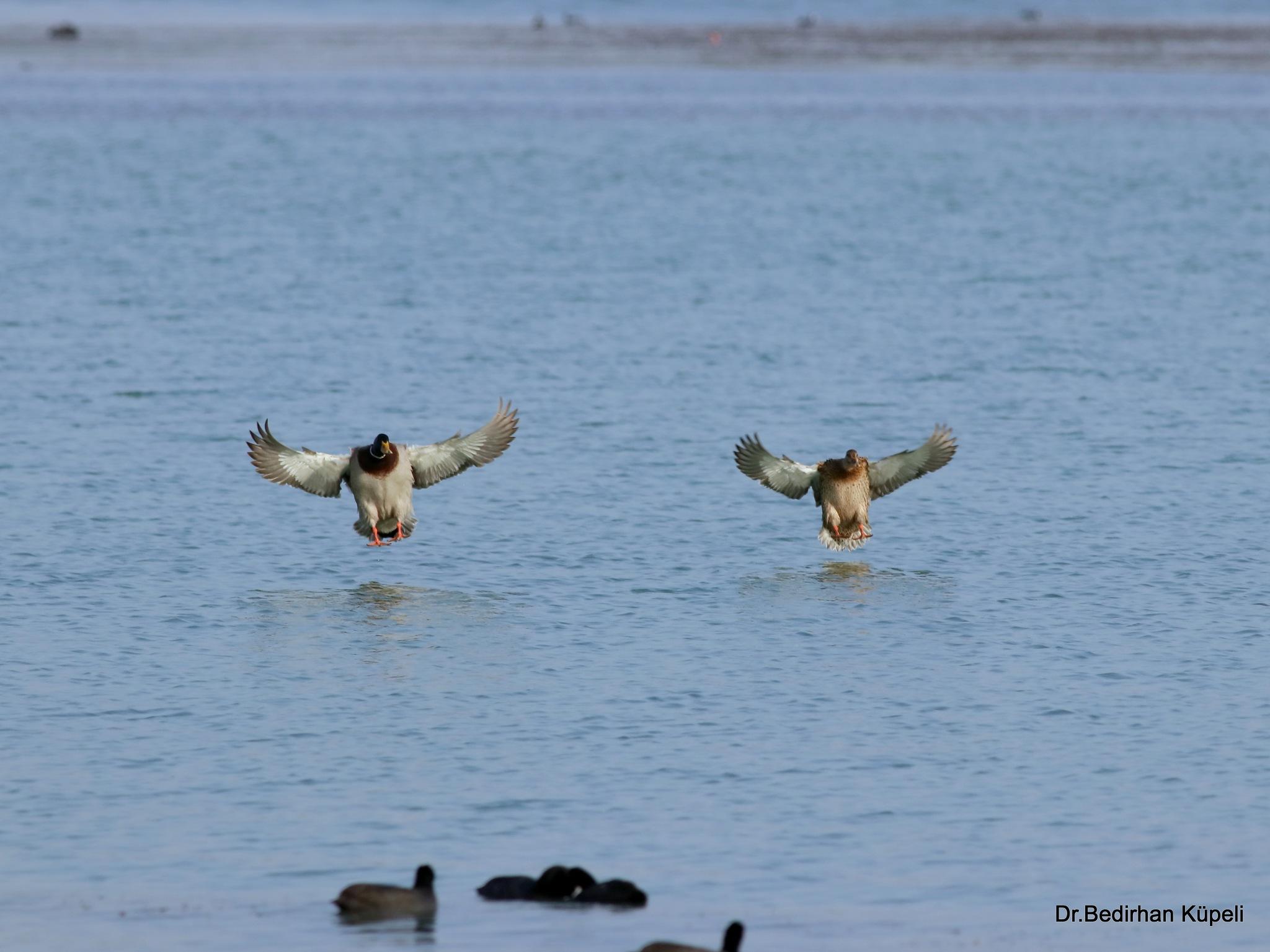 9164...Double Landing... (Mallard)(male and female) by Bedirhan Küpeli