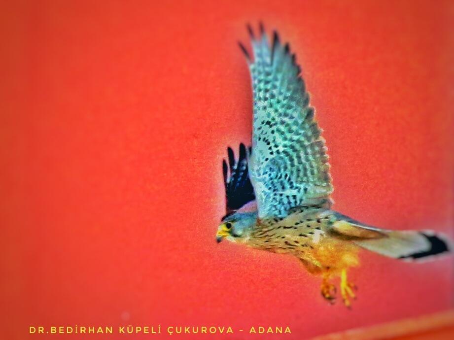 Kestrel Flight.... by Bedirhan Küpeli