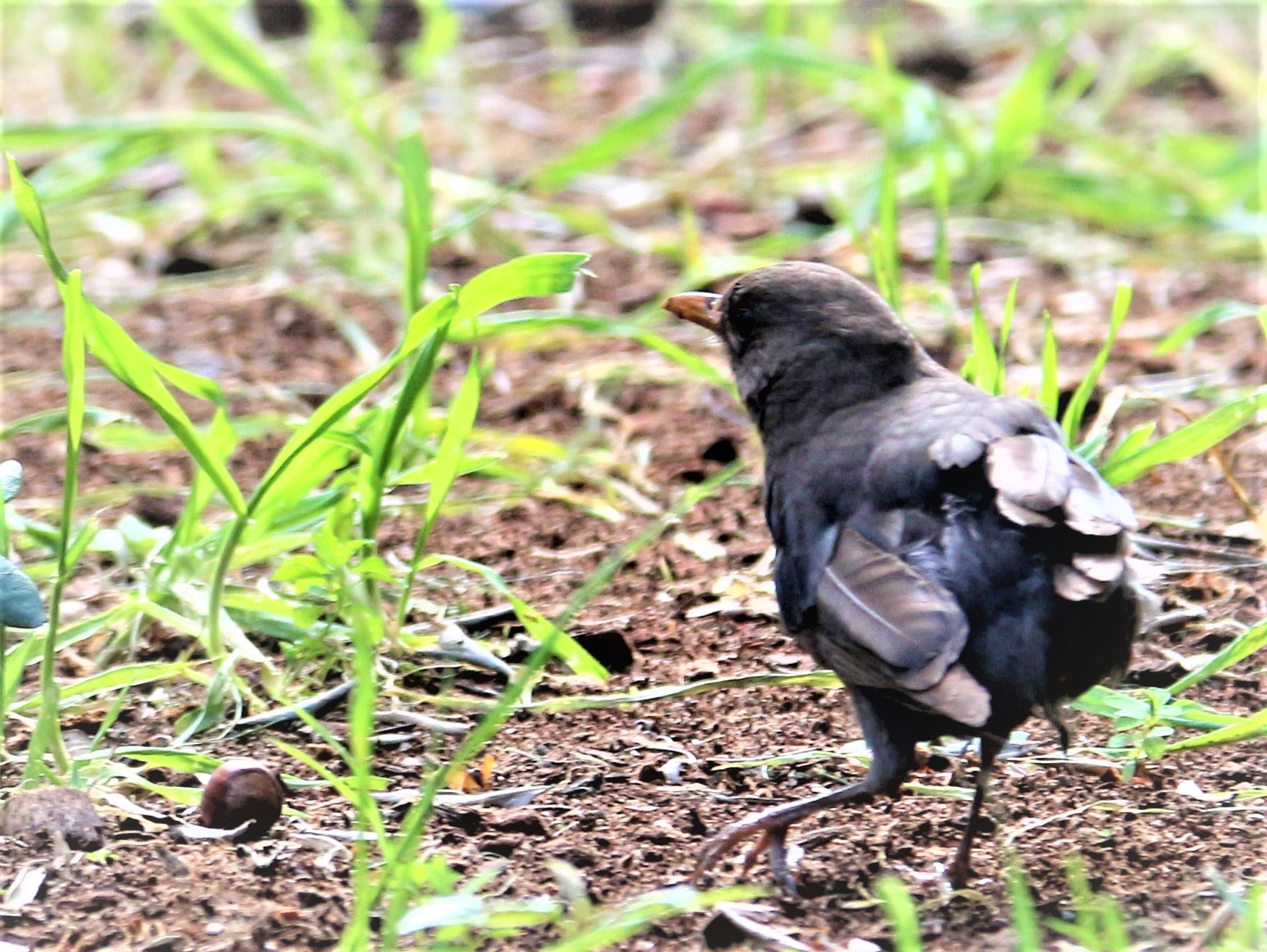 6938... Blackbird... by Bedirhan Küpeli