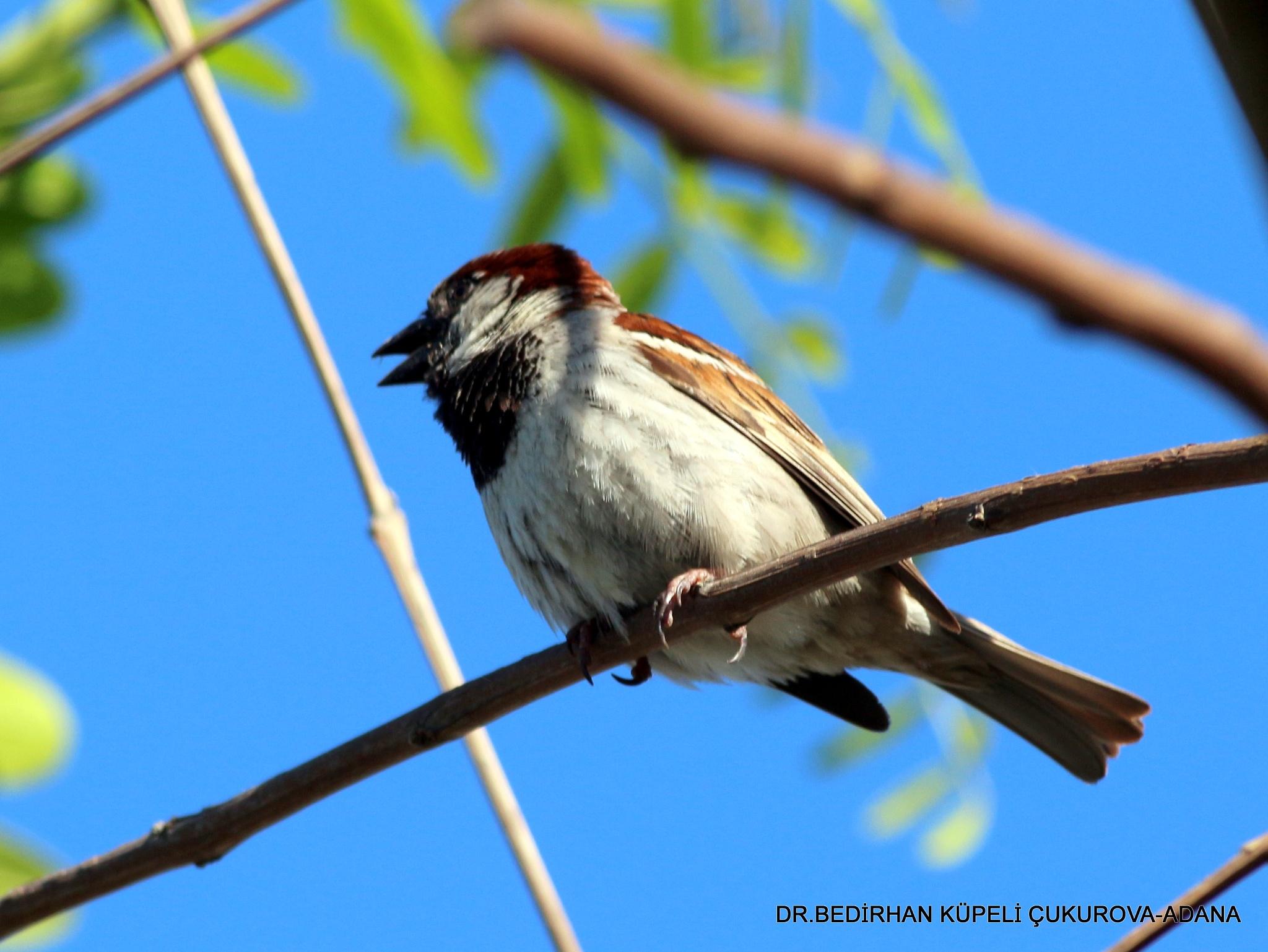 The House Sparrow is singing... by Bedirhan Küpeli