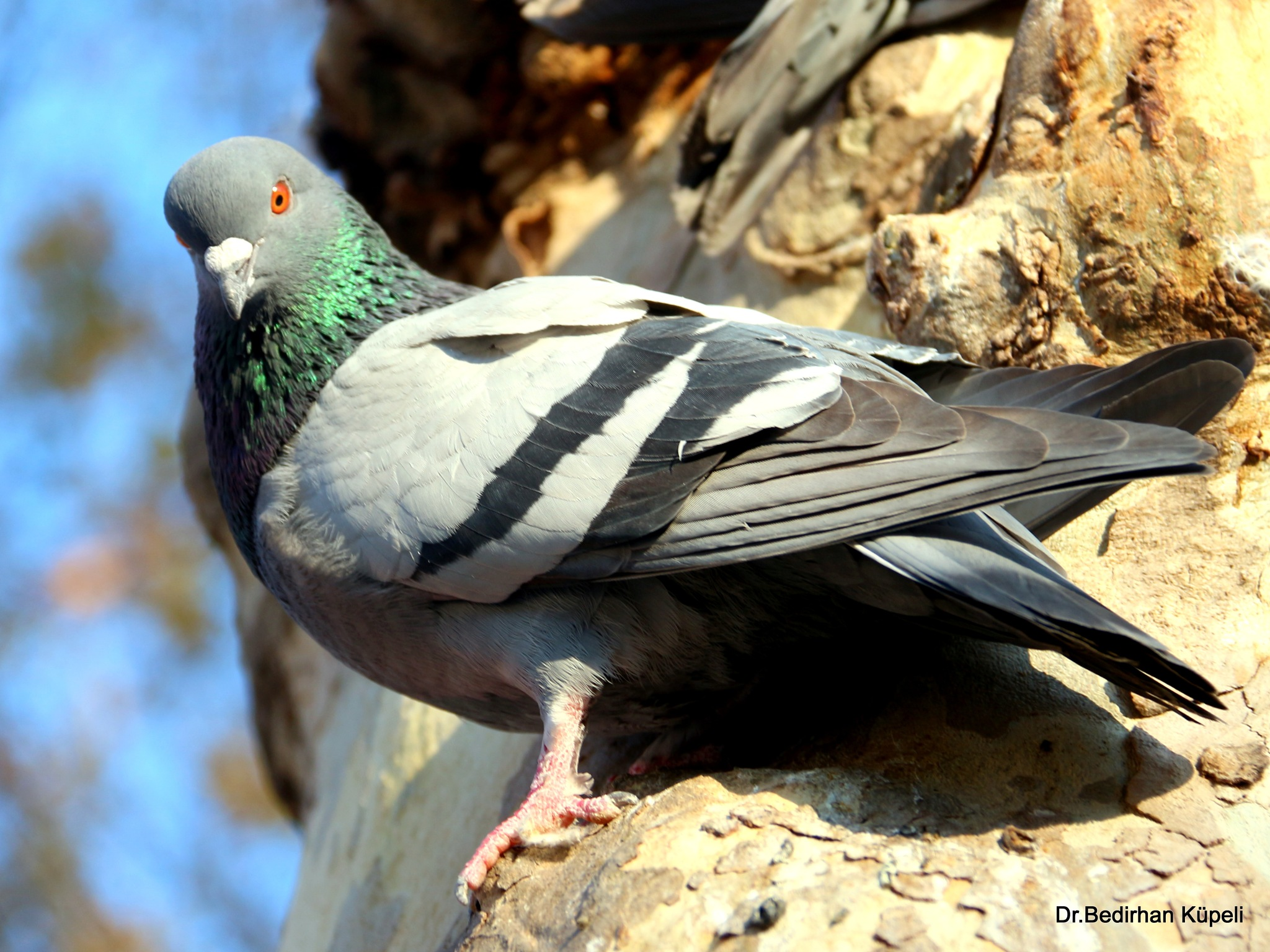 8292...Rock Dove.... by Bedirhan Küpeli